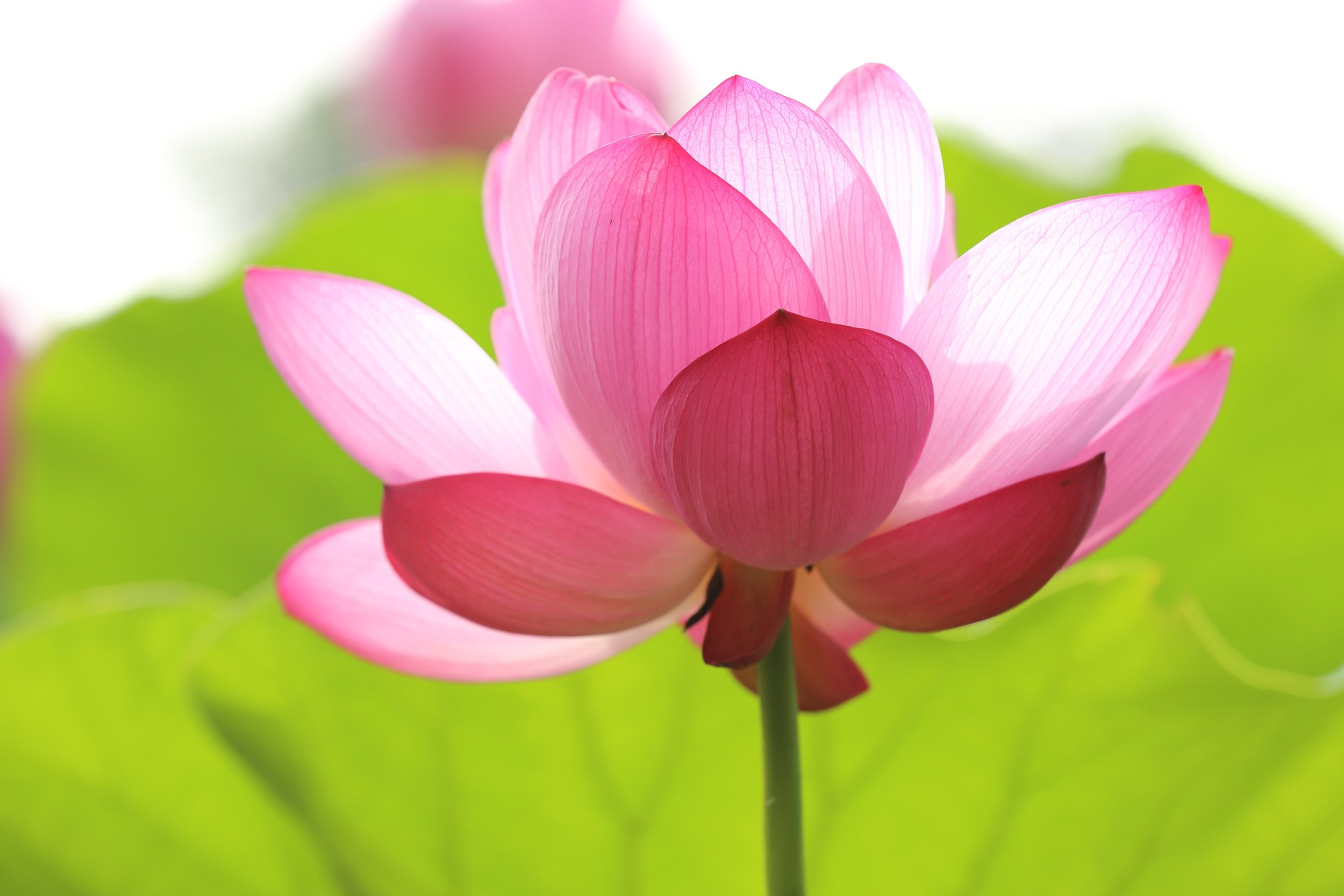Lotus. Photo by  kazuend