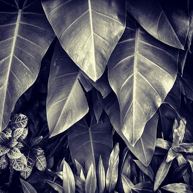 #marilynjgalosy#photography #monochrome#blackandwhitephotography#blackandwhite#instablackandwhite #nature #naturephotography #bwlandscape #garden #leaves #nature #singapore #singaporegardens