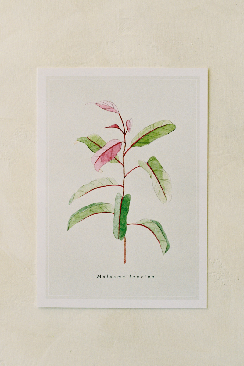 melanieosoriophotography_Watercolor-Botanical-Illustration_California-Native-Plants_Postcard_Laurel-Sumac_Malosma-laurina