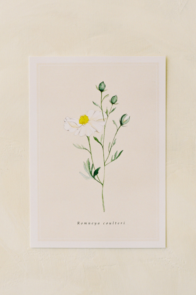 melanieosoriophotography_Watercolor-Botanical-Illustration_California-Native-Plants_Postcard_Matilija-Poppy_Romneya-coulteri