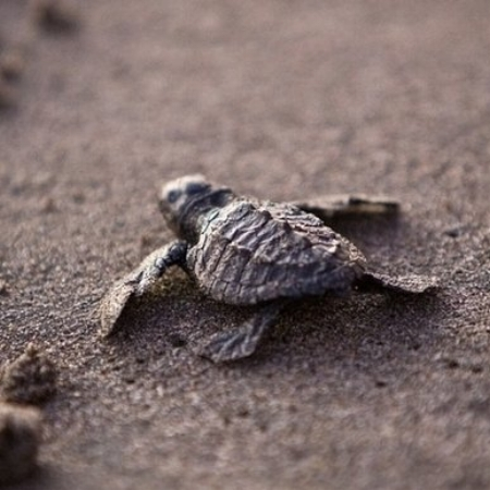 MUMBAI HATCHLINGS    Two years ago, Versova beach in Mumbai, India was a shin-deep dumping ground for plastics and rubbish. Today, thanks to a massive, ongoing, and volunteer cleanup effort, 80 endangered Olive Ridley turtle hatchlings have made their way from nests on Versova's newly pristine sands into the Arabian sea. — Washington Post