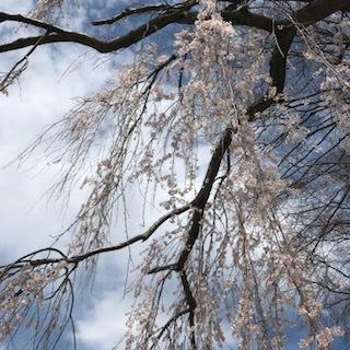 cherry blossom sky.JPG