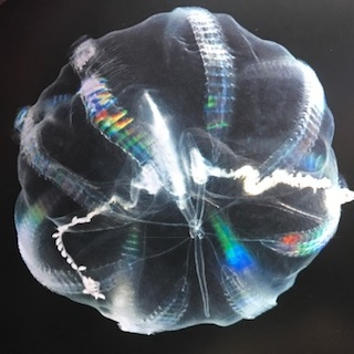 Rainbow Comb Jelly