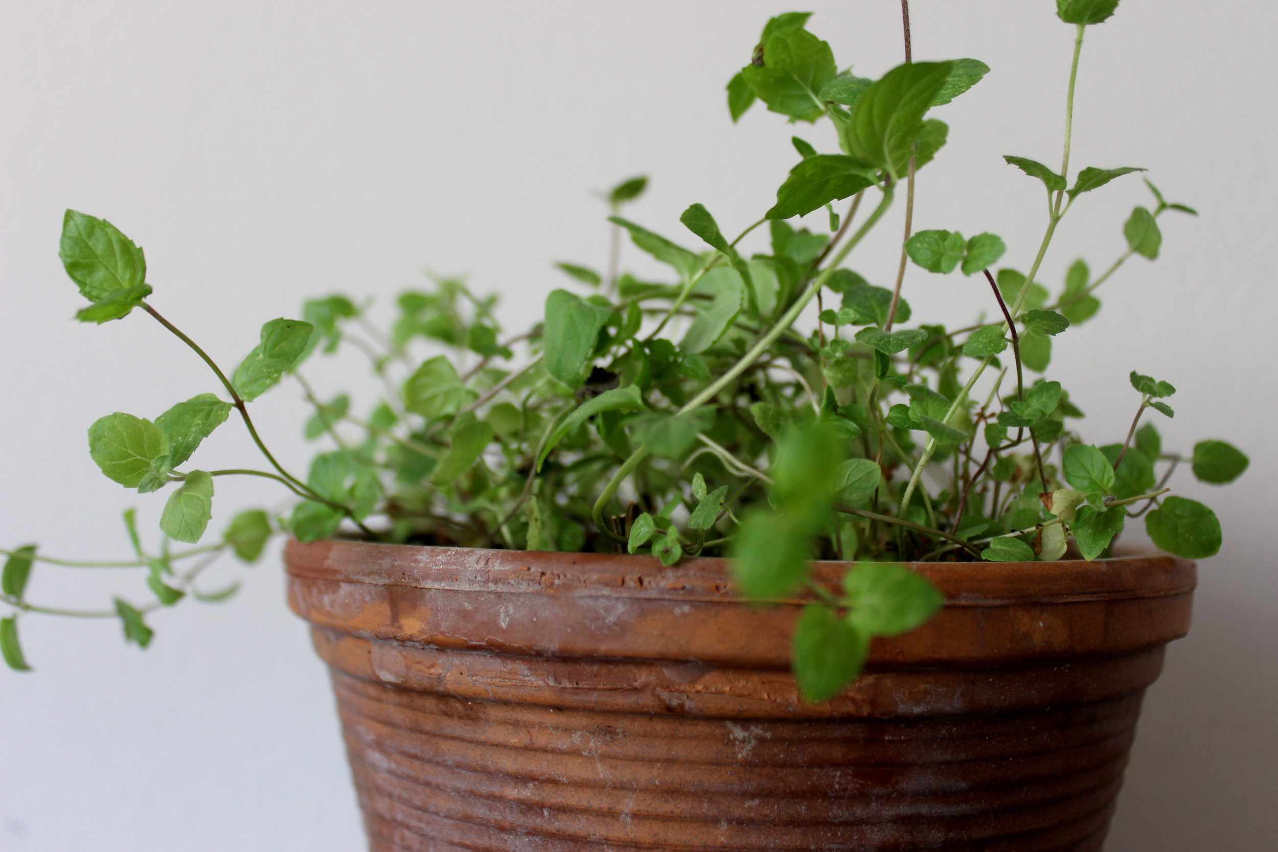 Growing your own mint indoors | Litterless