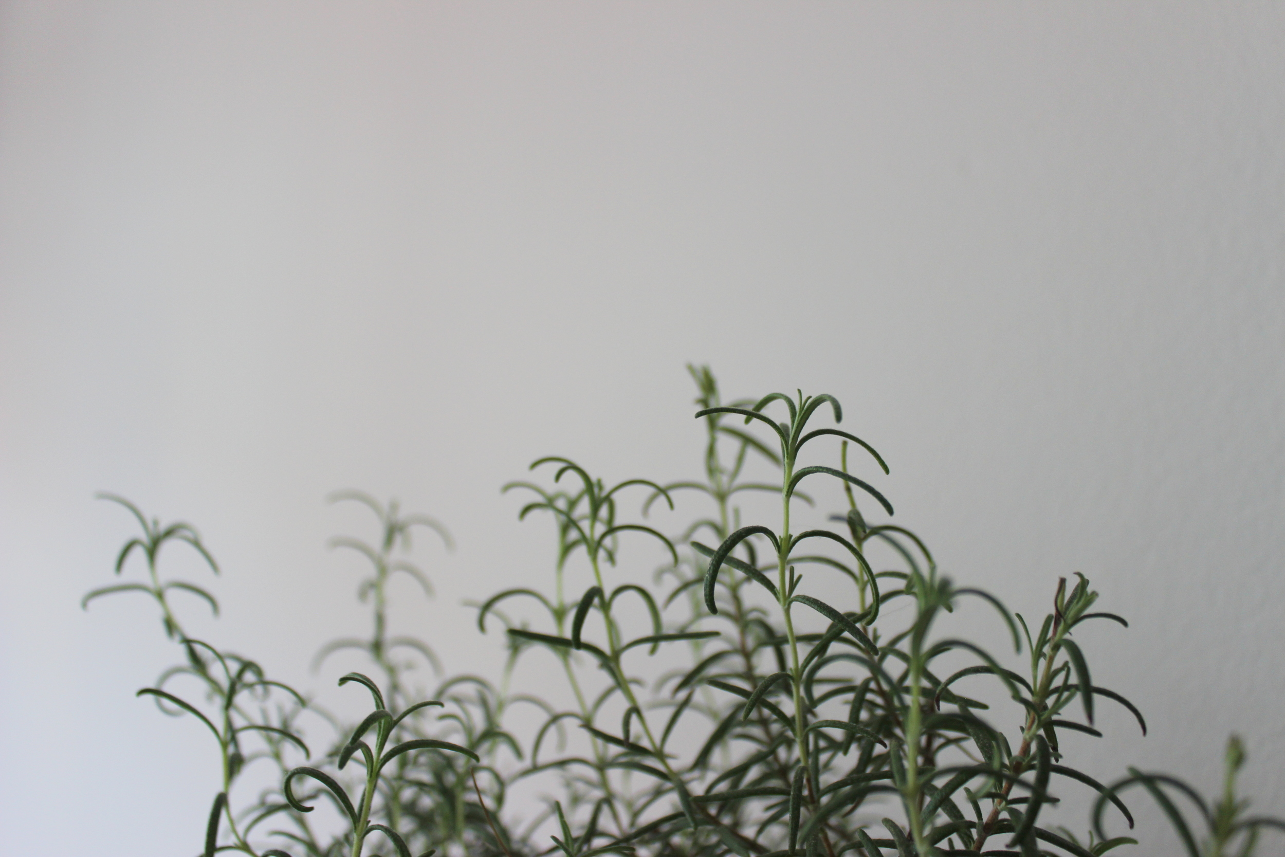 How to grow and care for a rosemary plant indoors and in a small city apartment | Litterless