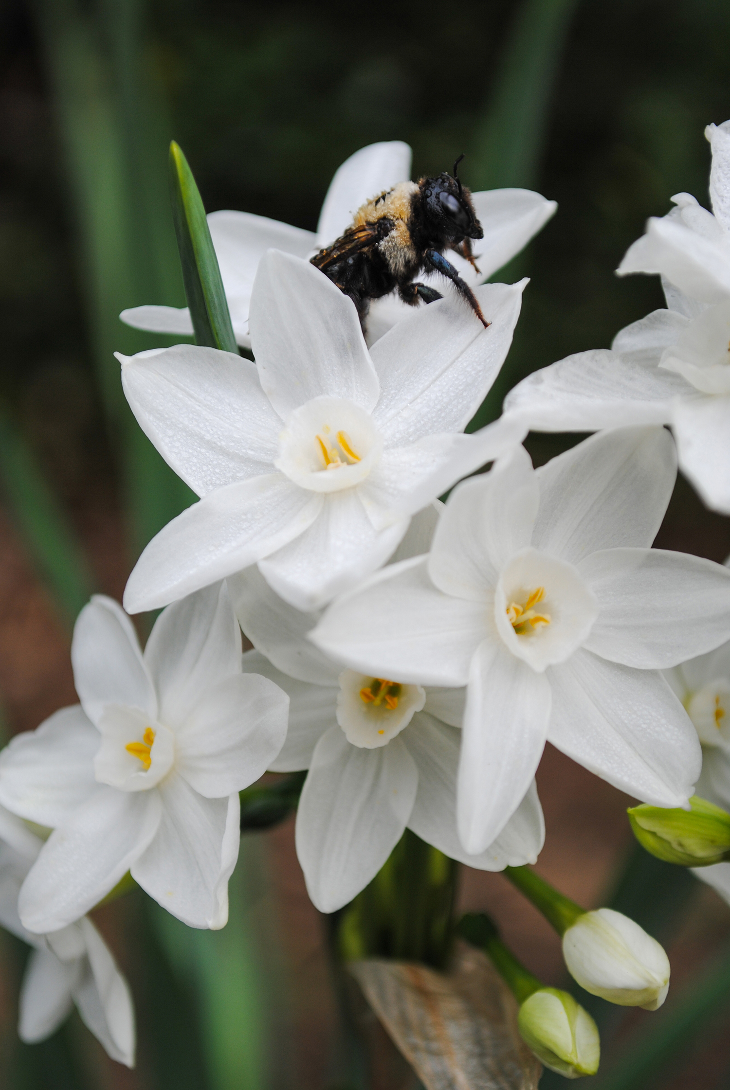 A bee rests on the parchment-like petals of Narcissus papyraceus.
