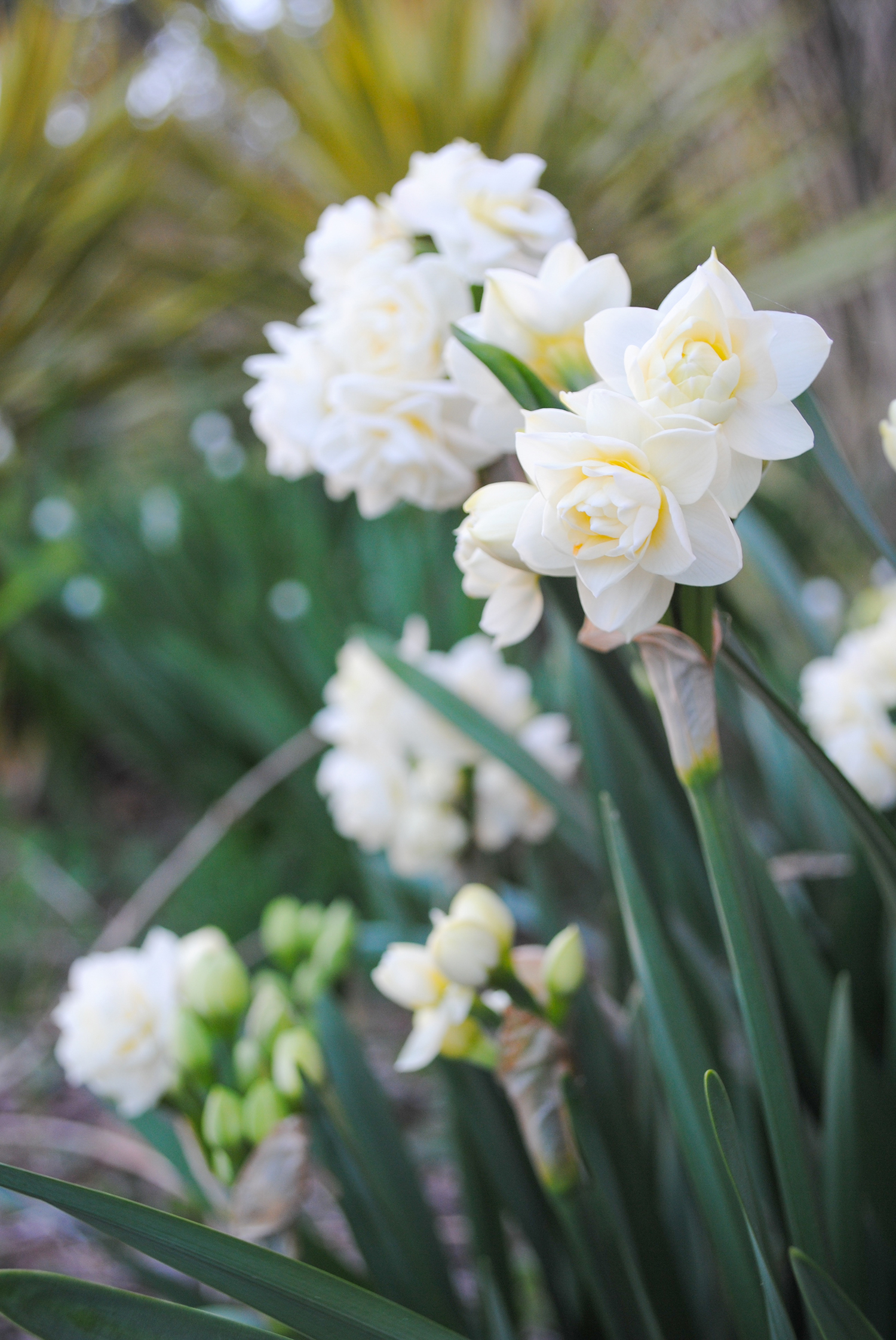 'Erlicheer' is one of the last Narcissus to flower in the deep south. Overall, double forms of Narcissus are usually later than their single counterparts.