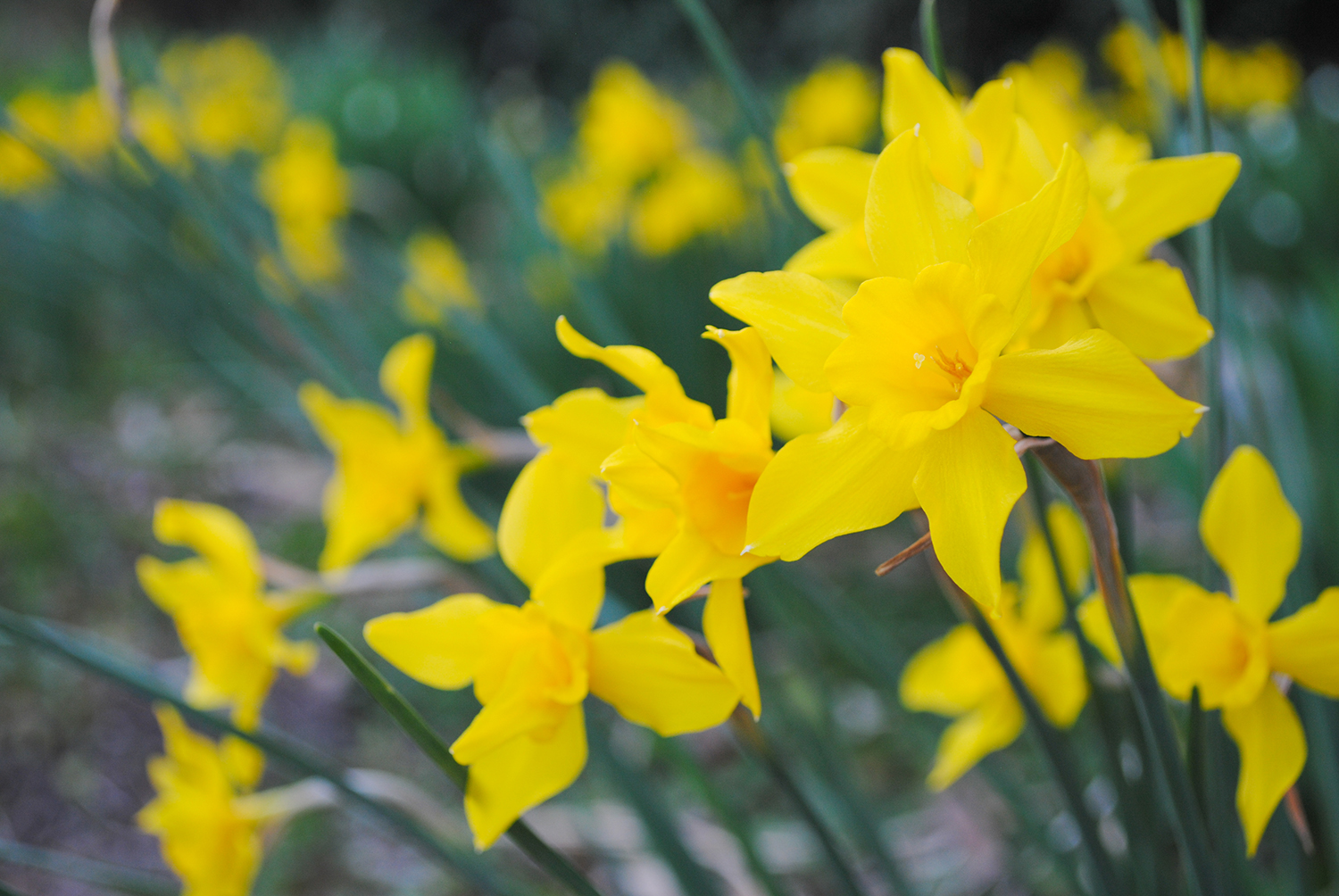 Narcissus × odorus, a vigorous hybrid for the southeast originating from crosses of Narcissus pseudonarcissus and Narcissus jonquilla. Occasionally, these geophytes will throw up flowers that have less than six petals. Do you spy any in the photograph above?