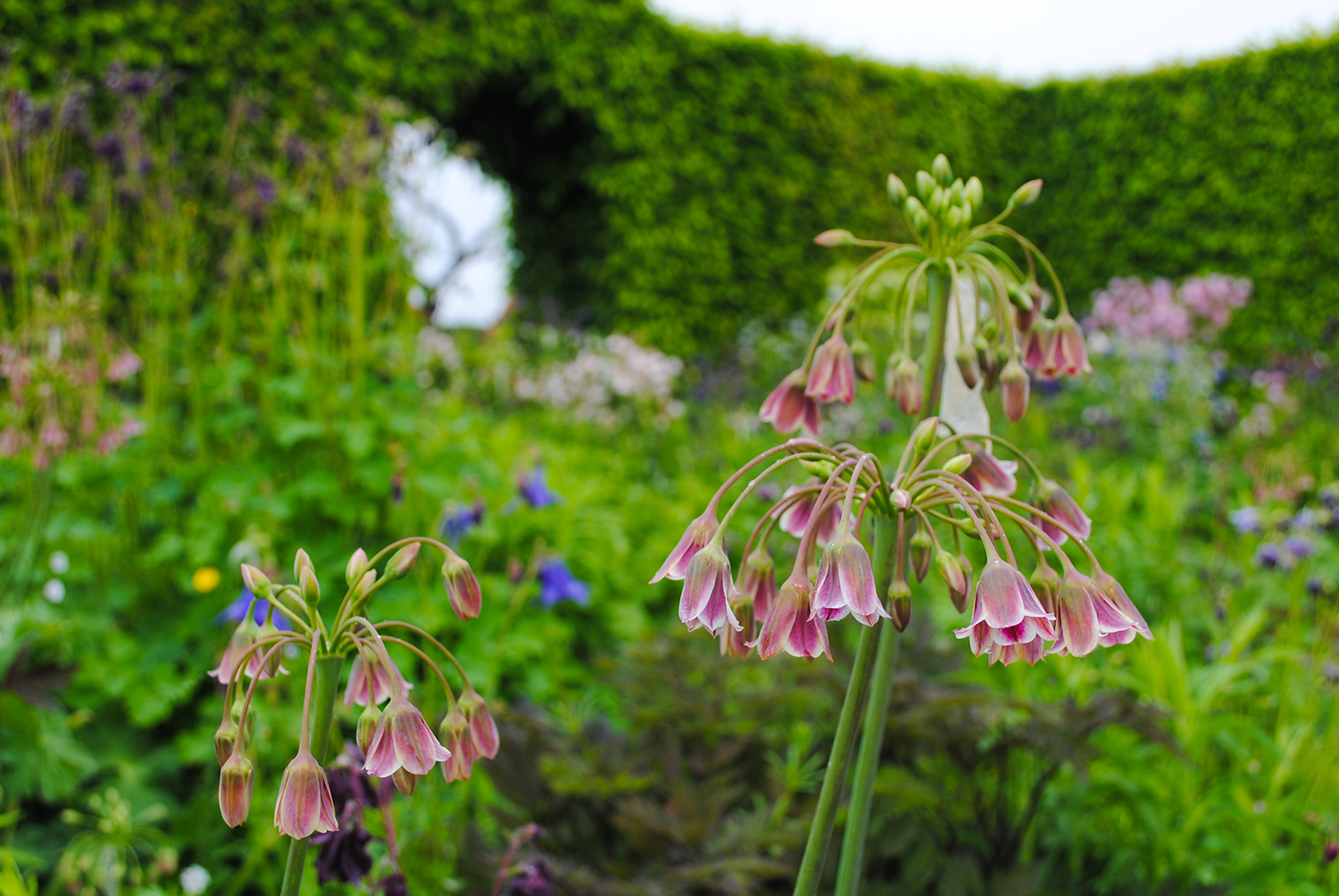 As Sia sings, seeing Allium siculum in a garden makes me want to swing from a chandelier. Chan-de-li-er!!!