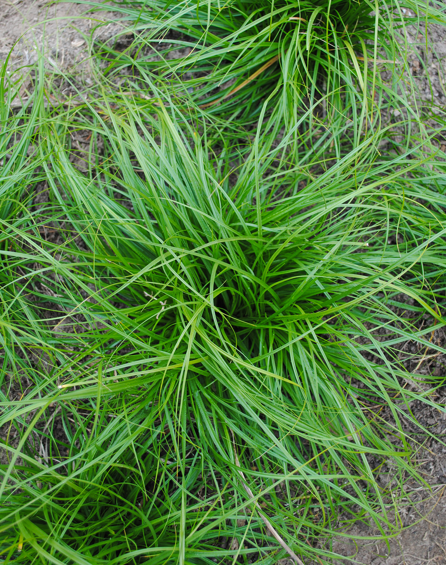 In the middle of winter, Carex cherokeensis keeps it's green.