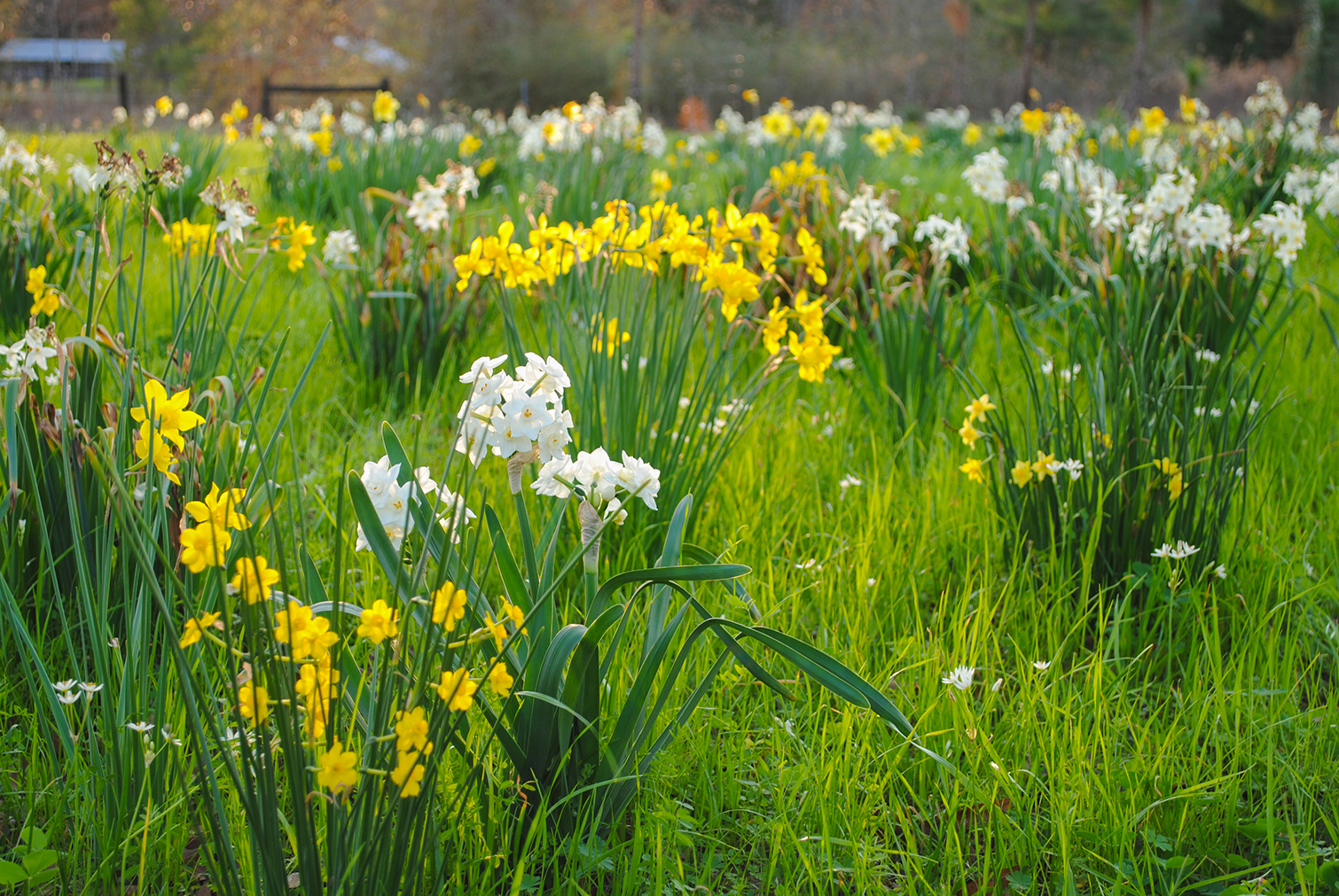 Early Narcissus mix and mingle in one of Greg Grant's bulb prairies in Arcadia, TX. Note that this photo of bulbs blooming in the south was taken on 12 February 2017, a full two months earlier in the year than the photo above.