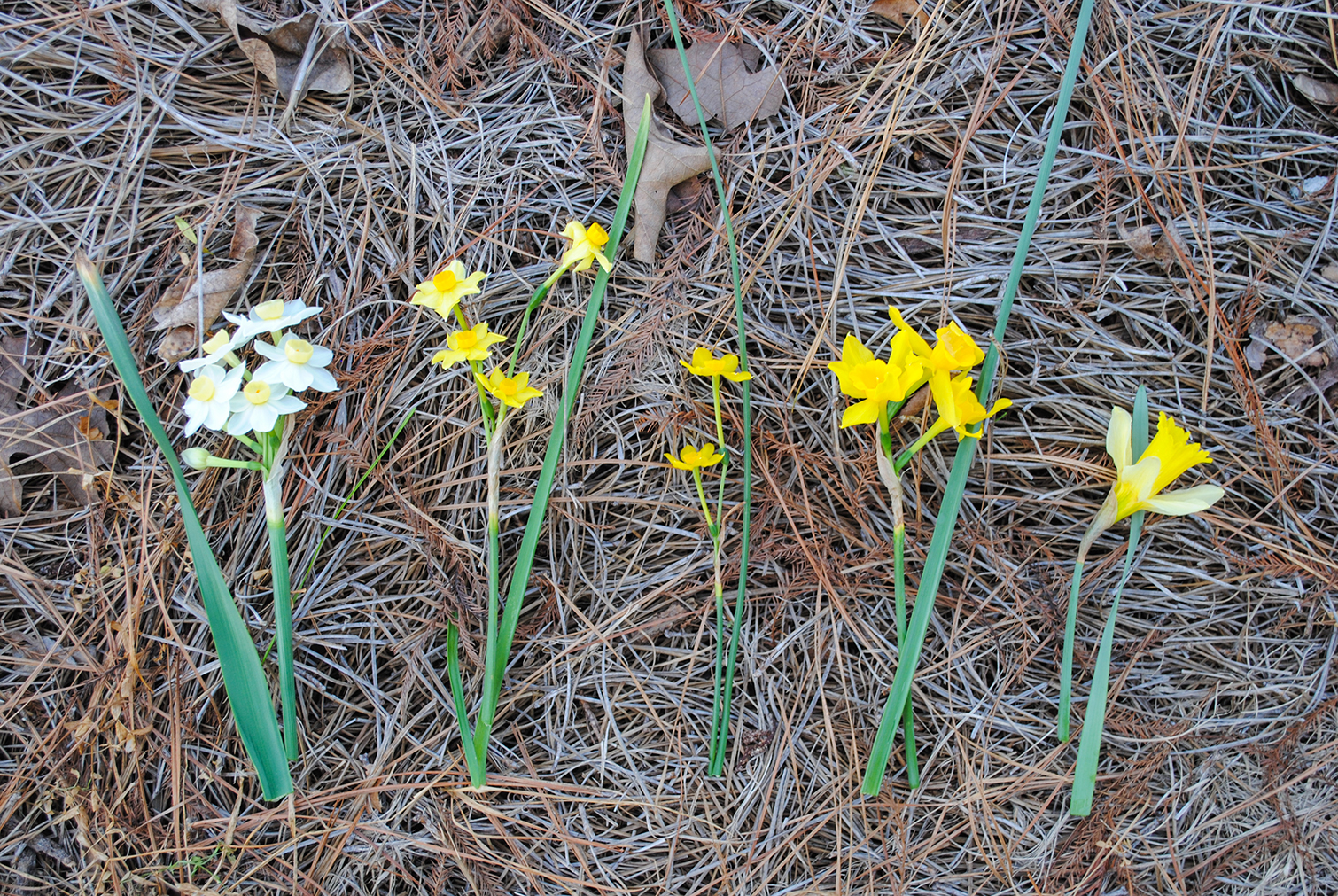A family photo of Narcissus that shows the wonderment of hybridization, all thanks to the handy work of Greg Grant. He arranged; I photographed. From left to right: Narcissus tazetta 'Grand Primo', Narcissus × intermedius, Narcissus jonquilla, Narcissus × odorus, and Narcissus pseudonarcissus. Those noted with a hybrid '×' in their name exhibit intermediate characteristics between the two species on either side. (Note: Straight tazetta is the supposed parent for Narcissus × intermedius.)