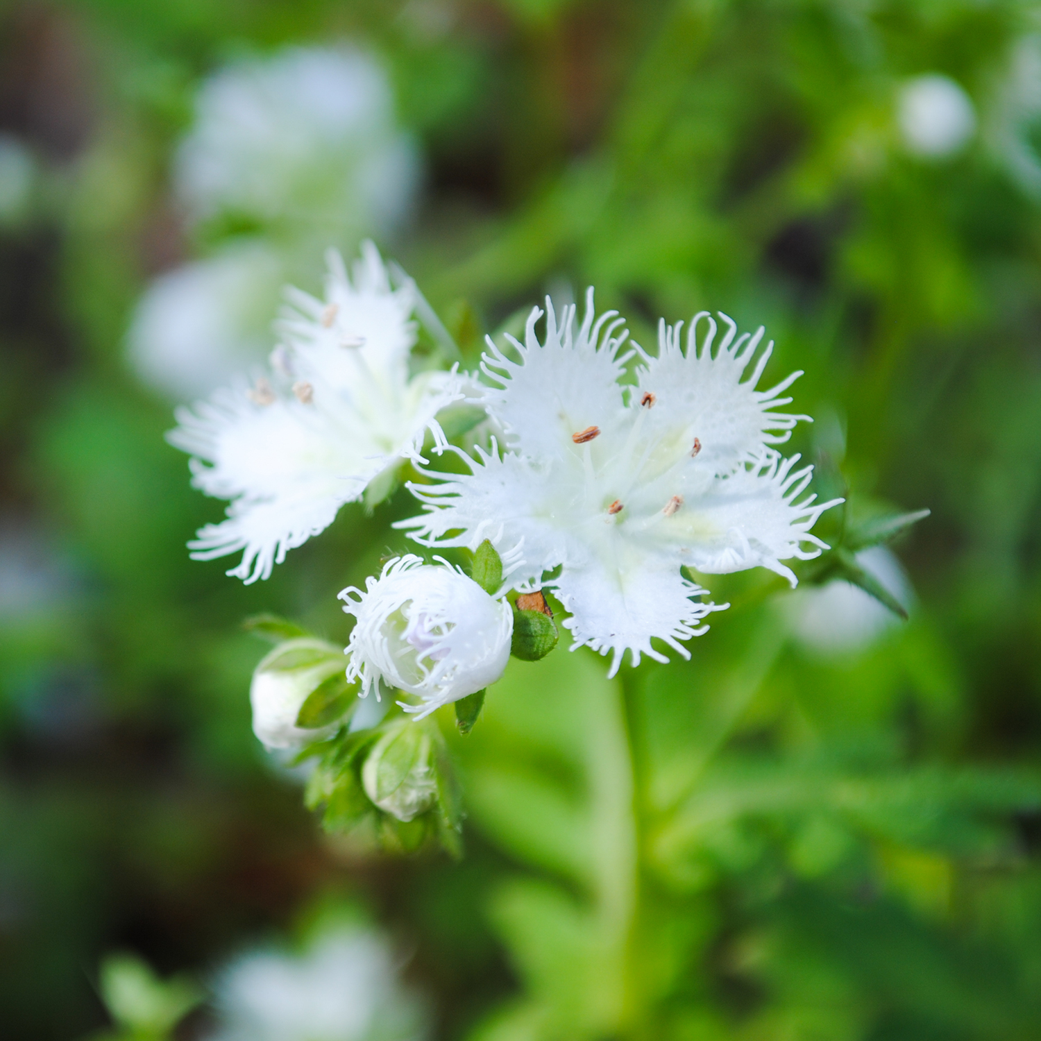 A close up of Phacelia fimbriata. The flowers were about the size of a dime.