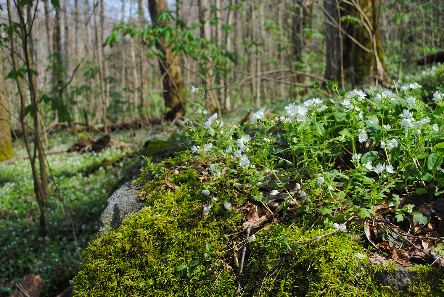 Fringed phacelia thrive on a boulder, no doubt supported by a layer of detritus and abundant rainfall during the winter and early spring.