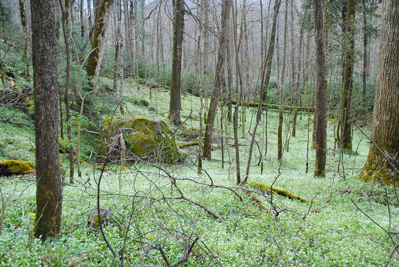 Phacelia fimbriata o'er hill and dale