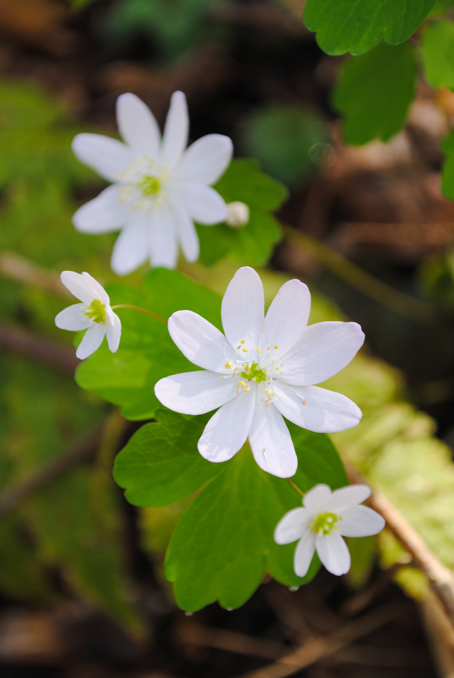 Anemonella  thalictroides (rue anenome) occasionally dotted the forest floor.