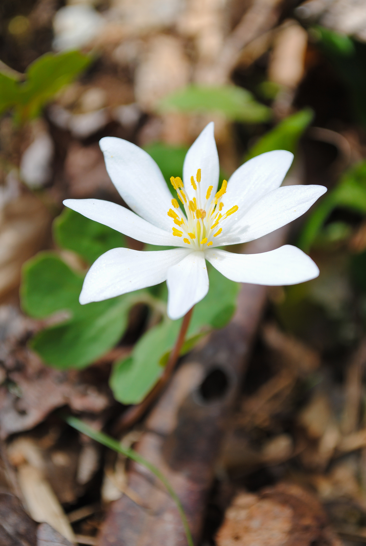 I assumed before we went that we would see Sanguinaria canadensis (bloodroot) everywhere, but I only saw one in flower. It was actually right as we were coming back to the parking lot.