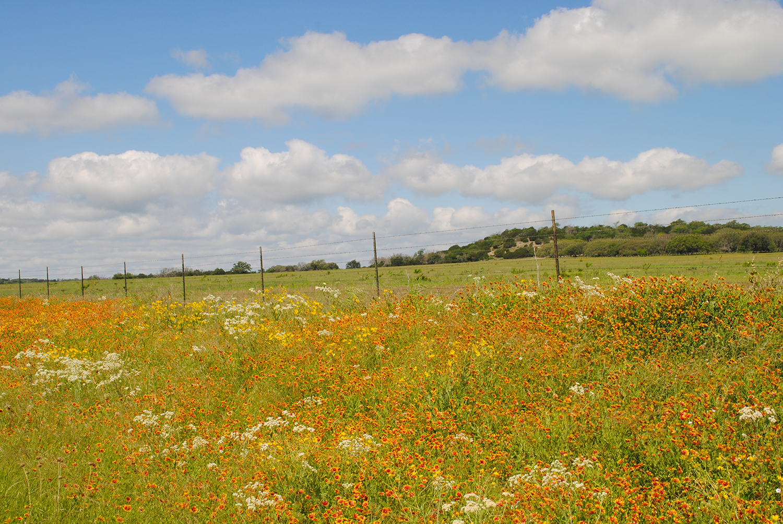 Ember-colored  Gaillardia (firewheel) smolder on the highway shoulders in west Texas