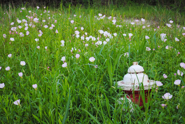 Roadside decor.  Oenothera speciosa  (showy primrose)and a fire hydrant.