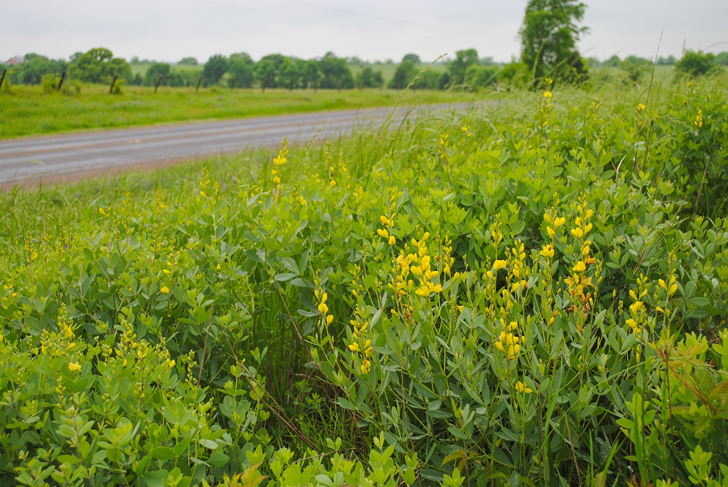 The lemon yellow flowers of  Baptisia sphaerocarpa  (yellow wild indigo)are very visible at 70 mph and often warrant a u-turn.