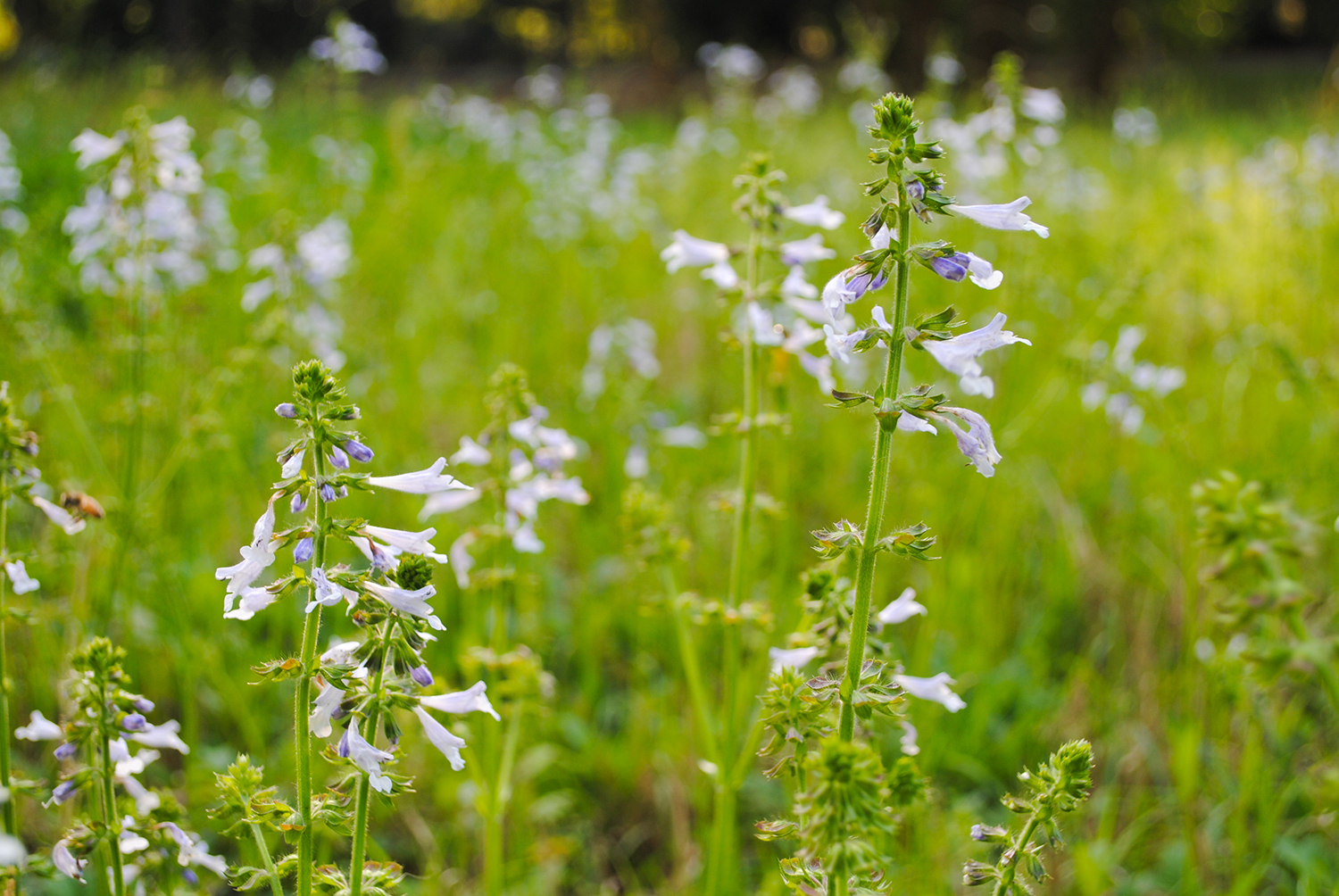 Salvia lyrata (lyre-leaf sage) is a common acquaintance to right-of-ways, especially in suburban lawns.