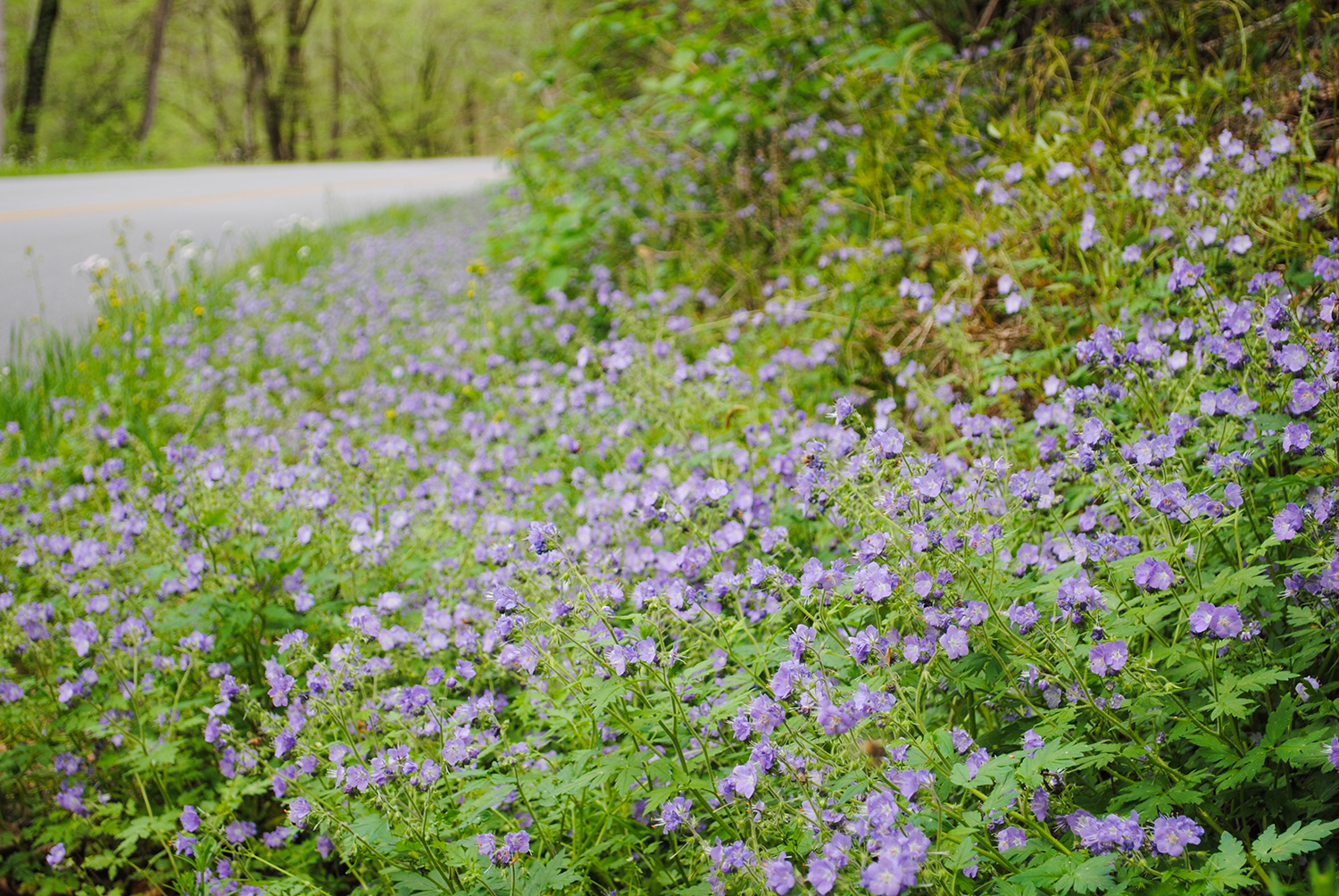 Phacelia bipinnatifida  (purple phacelia)form a river of lilac on the roadsides in the Smokies. If you pull over and squat amongst the flowers, you'll sniff hints of celery.