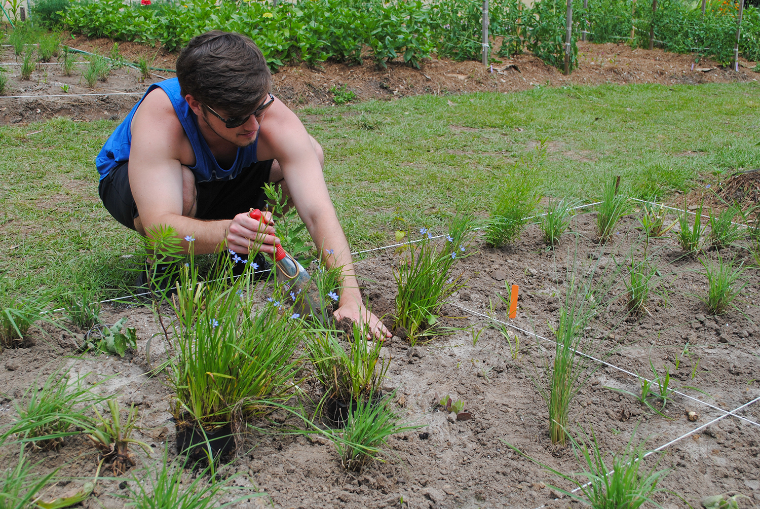 Reagan smooths soil around Sisyrinchium angustifolium.  The sun came out long enough for the plants to open their beautiful blue flowers.
