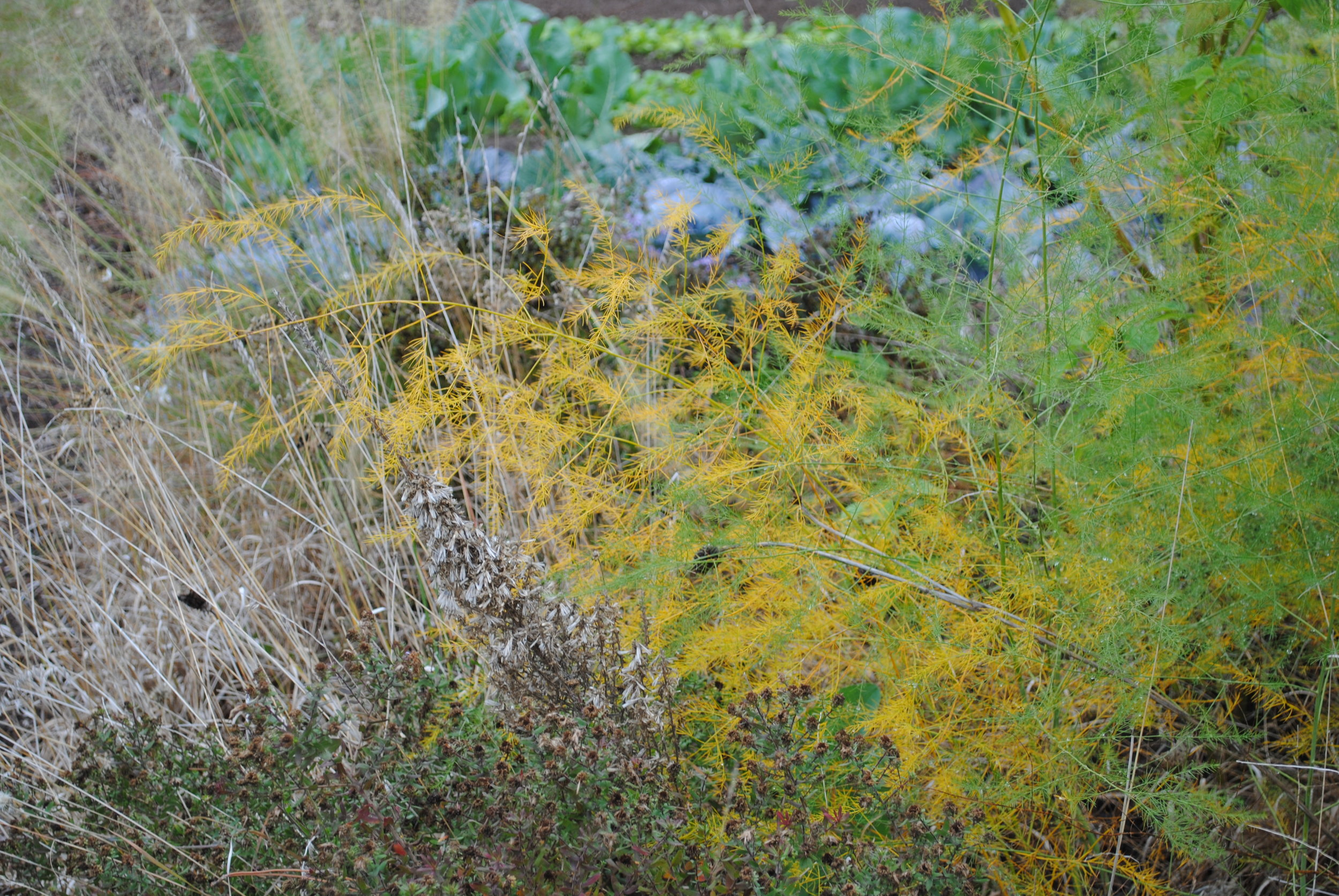Nestled amongst  Bouteloua ,  Symphyotrichum ,  Liatris , and more, one might not immediately notice the  Asparagus  in our plantings.  But, in the fall when the foliage fades gold, it hides no more.  It will hold a light yellow/tan color for the rest of the winter.