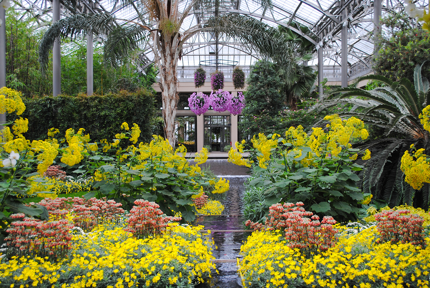 Much of the conservatory featured the towering, yellow flowering  Roldana petasitis.   Here it carpeted underneath by the coral, tubular flowers of  Kalanchoe  x  houghtonii  and the golden  Euryops pectinatus.