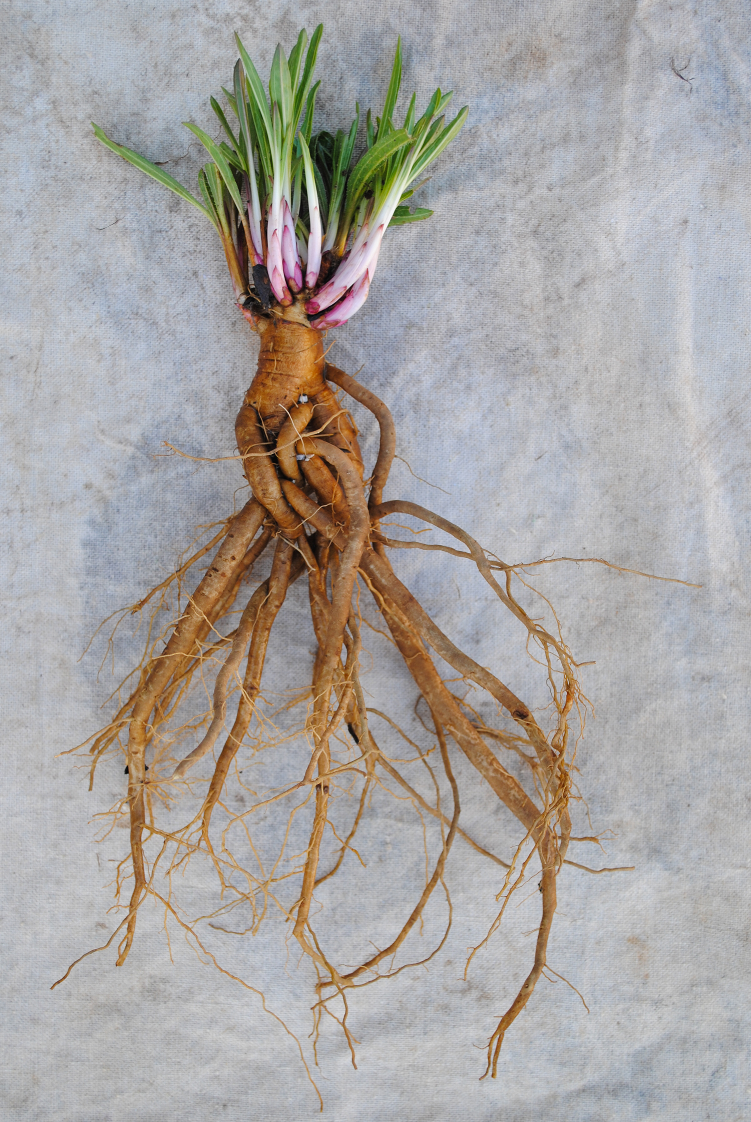 I learn so much each time I expose roots.  Here, plump taproots on  Echinacea tennesseensis  likely help the plant survive stressful times during the year and store resources for the coming bloom.
