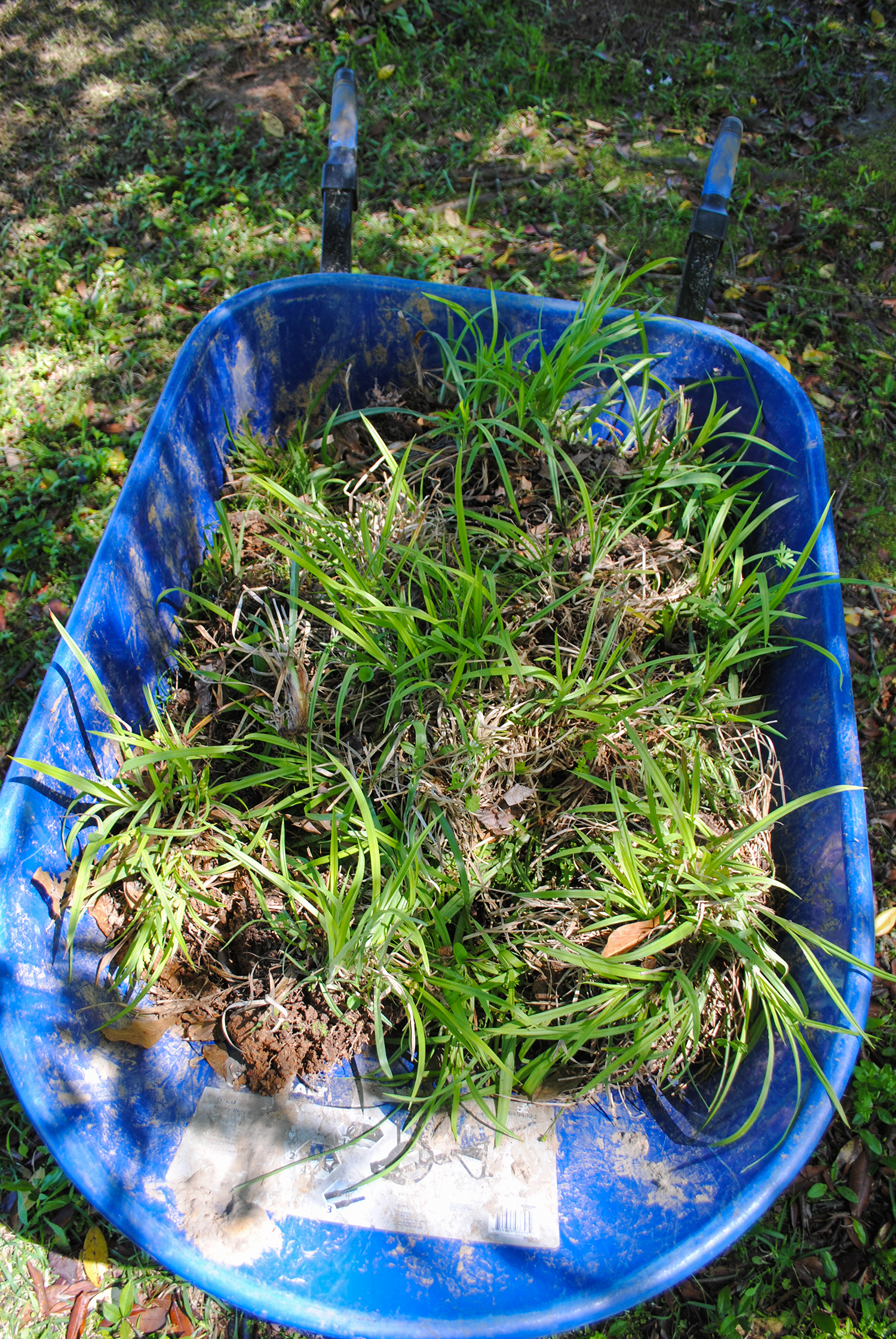 Saved from the mower blades, a wheelbarrow full of  Carex  ready for planting.