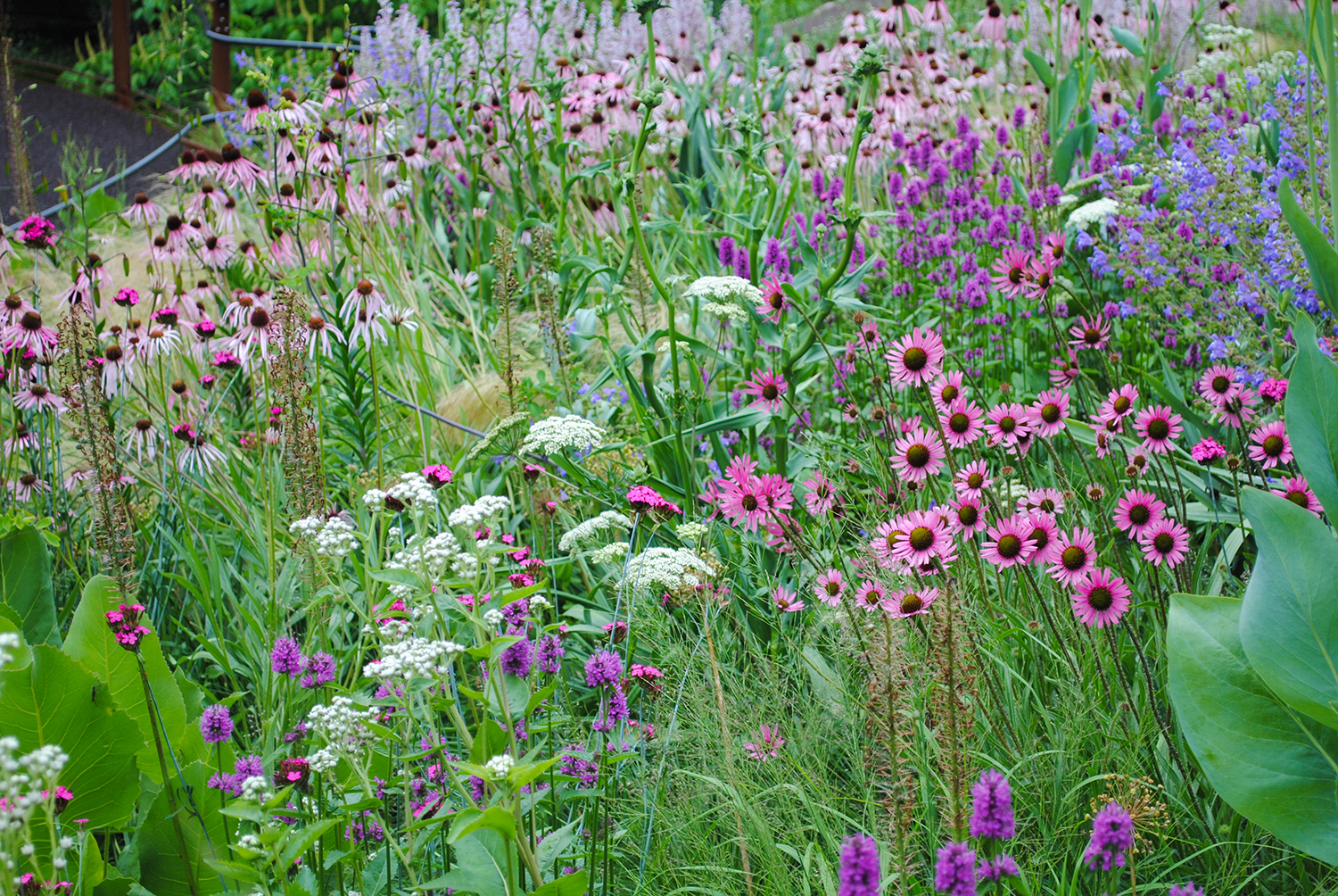 Can you spy the east-facing  Echinacea tennesseensis  'Rocky Top' in this incredible planting at Chanticleer's elevated walkway?  Hint, it's on the right.  Compare these blooms where the ray florets curve upward with the typical  Echinacea  at the back left of the image whose outer rays droop.