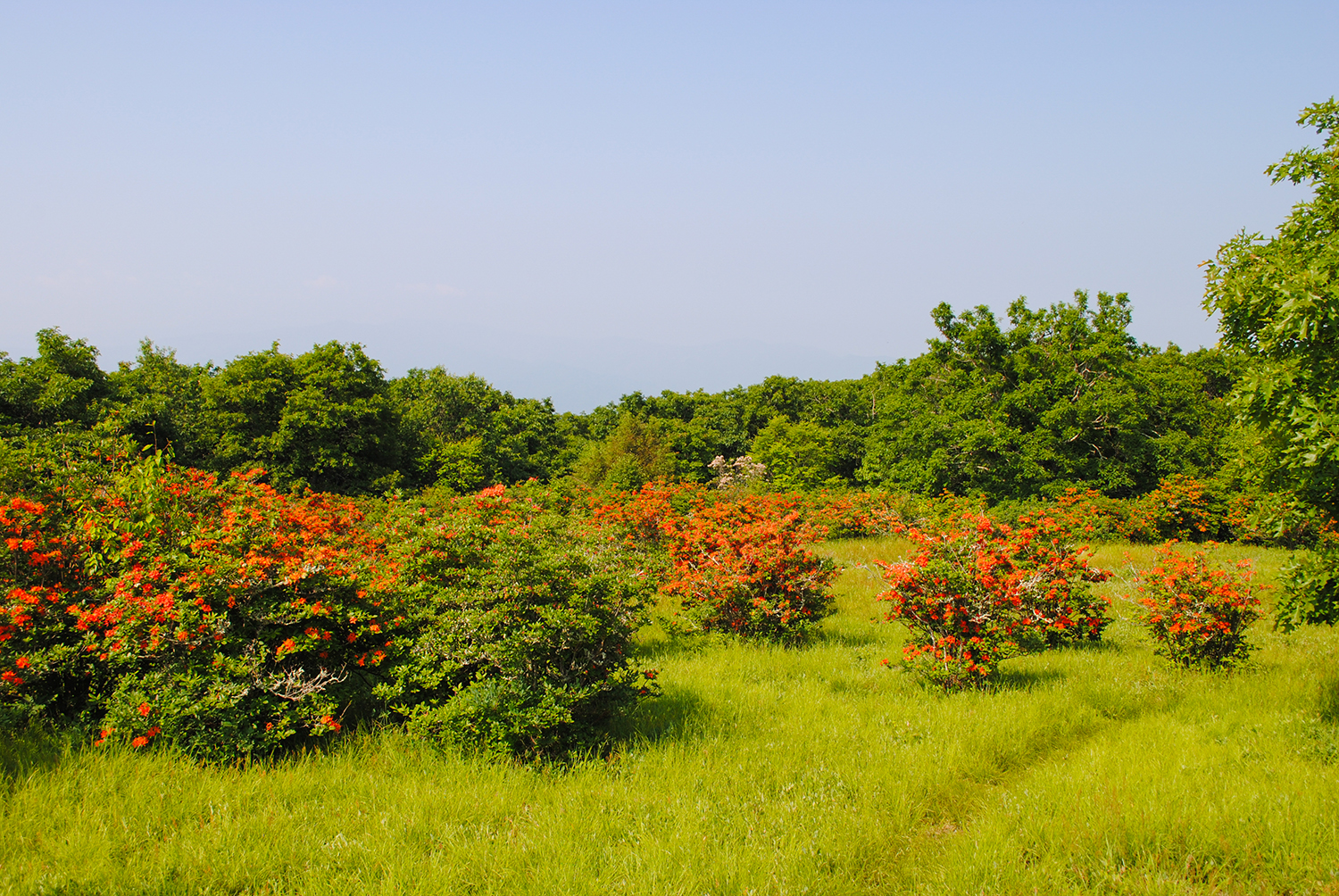 A narrow path leads through the grass matrix surrounding the fiery-colored azaleas.