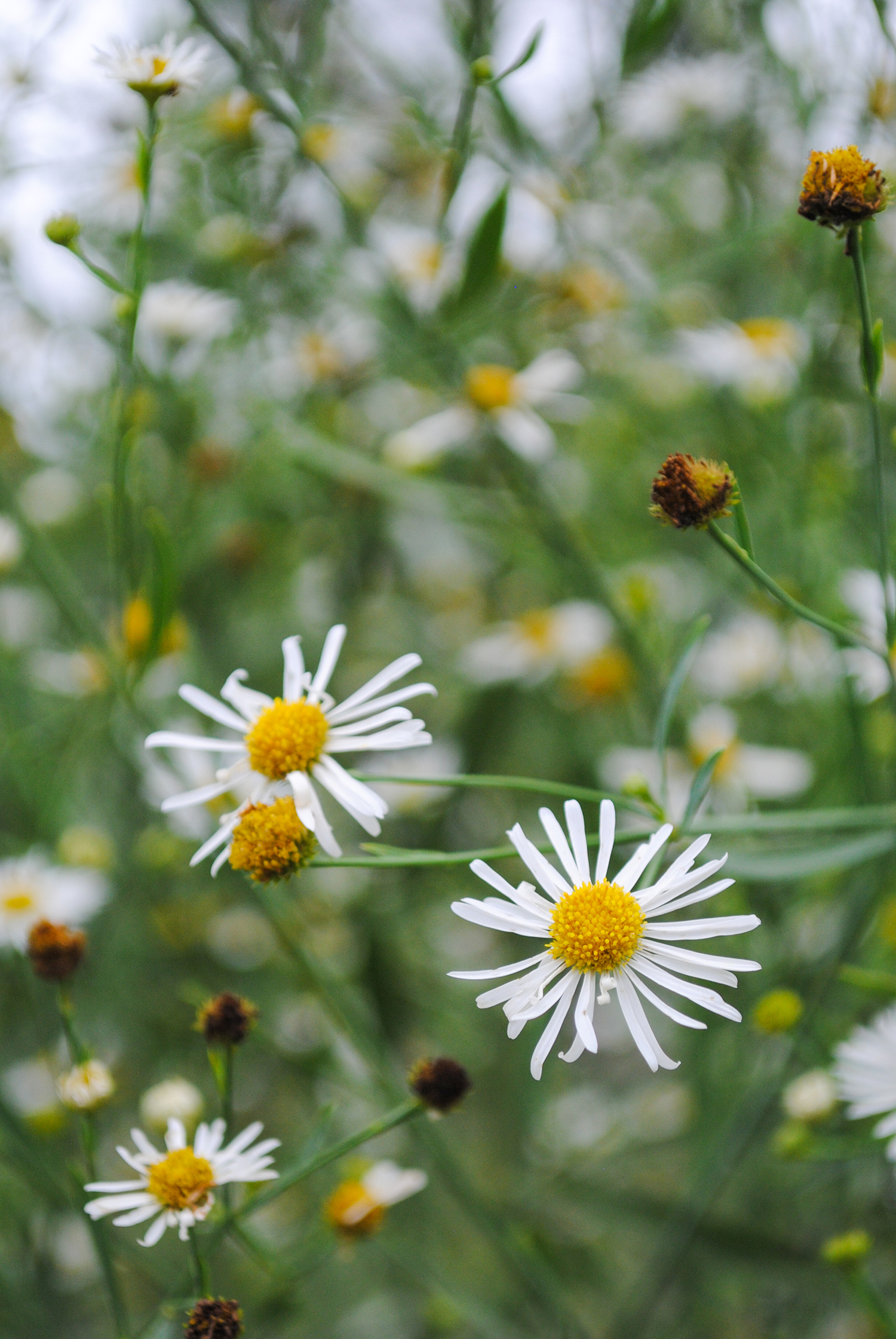Close up of  Boltonia asteroides  flowers. Once they begin to fade, the ray florets rain down and cover the ground like little white sprinkles. Or, your arm if you brush past the plant.