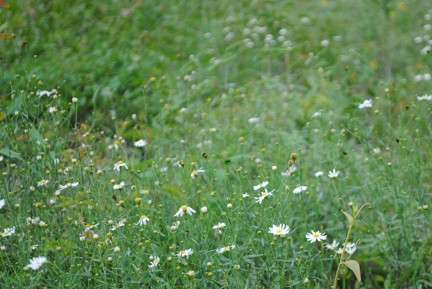 Boltonia diffusa  growing in the wild.