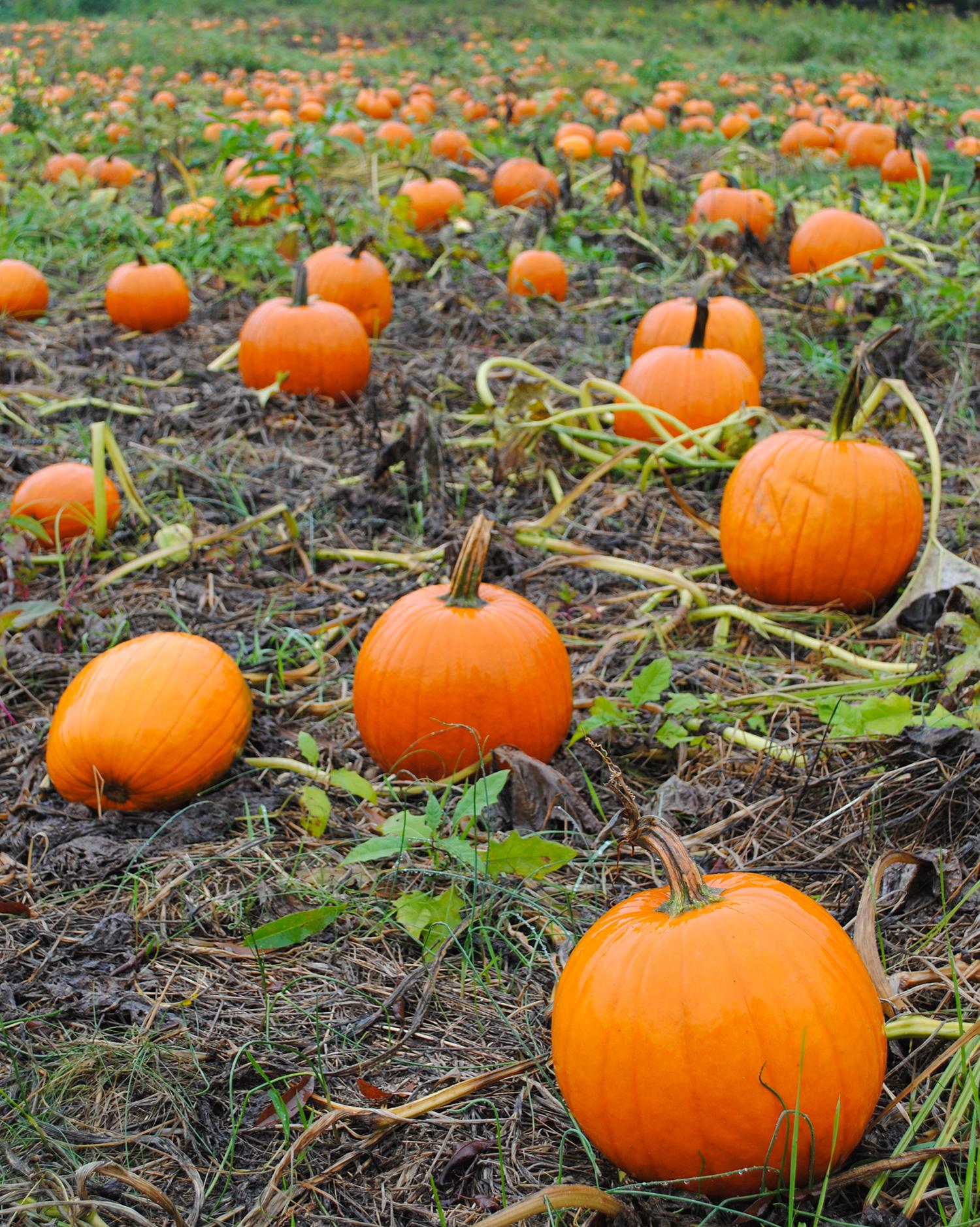 2015-0926-011 pumpkin patch-LRPS.jpg