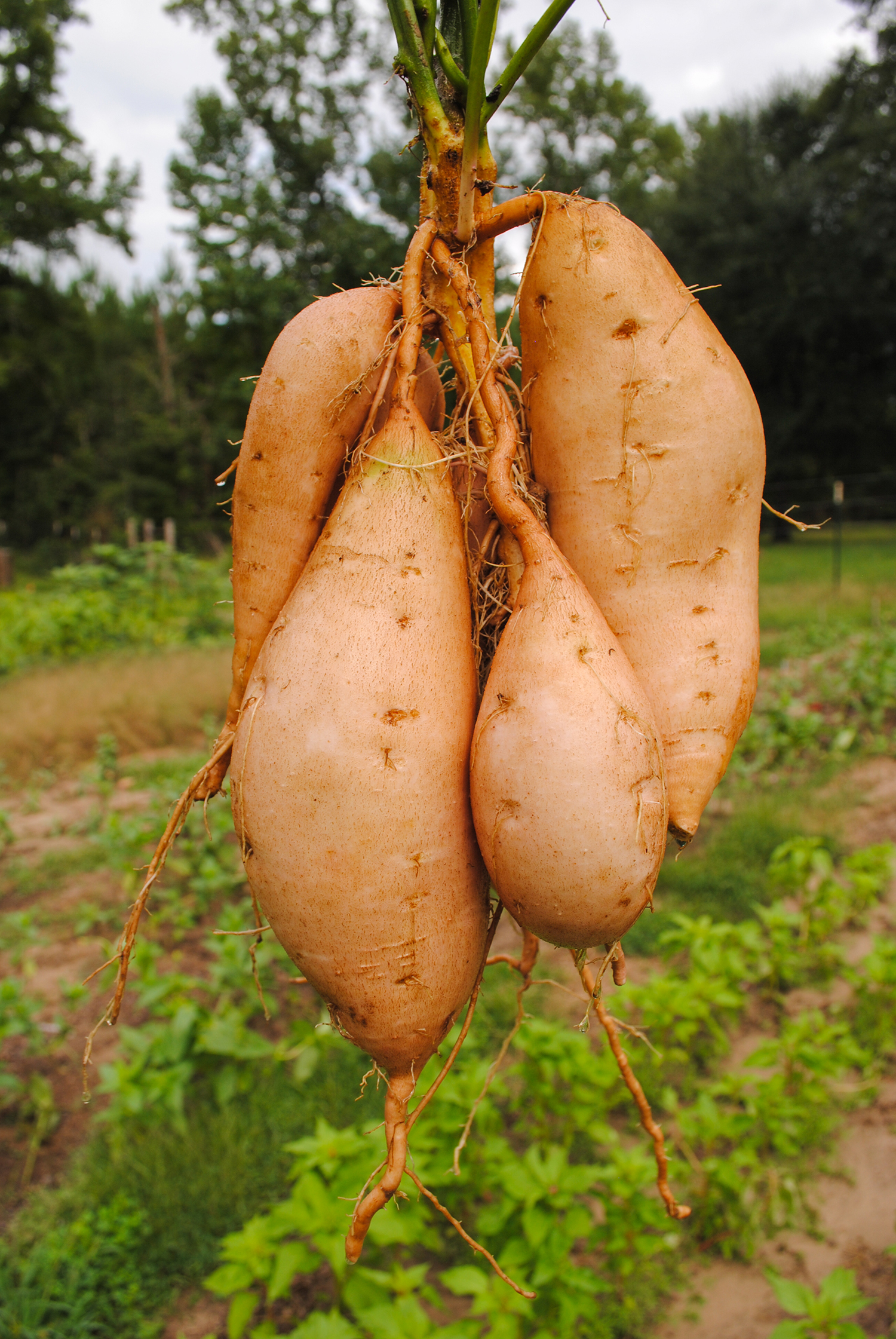 The swollen roots of 'O'Henry' sweet potato. Getting them out all still attached to the plant is an art in produce transportation.