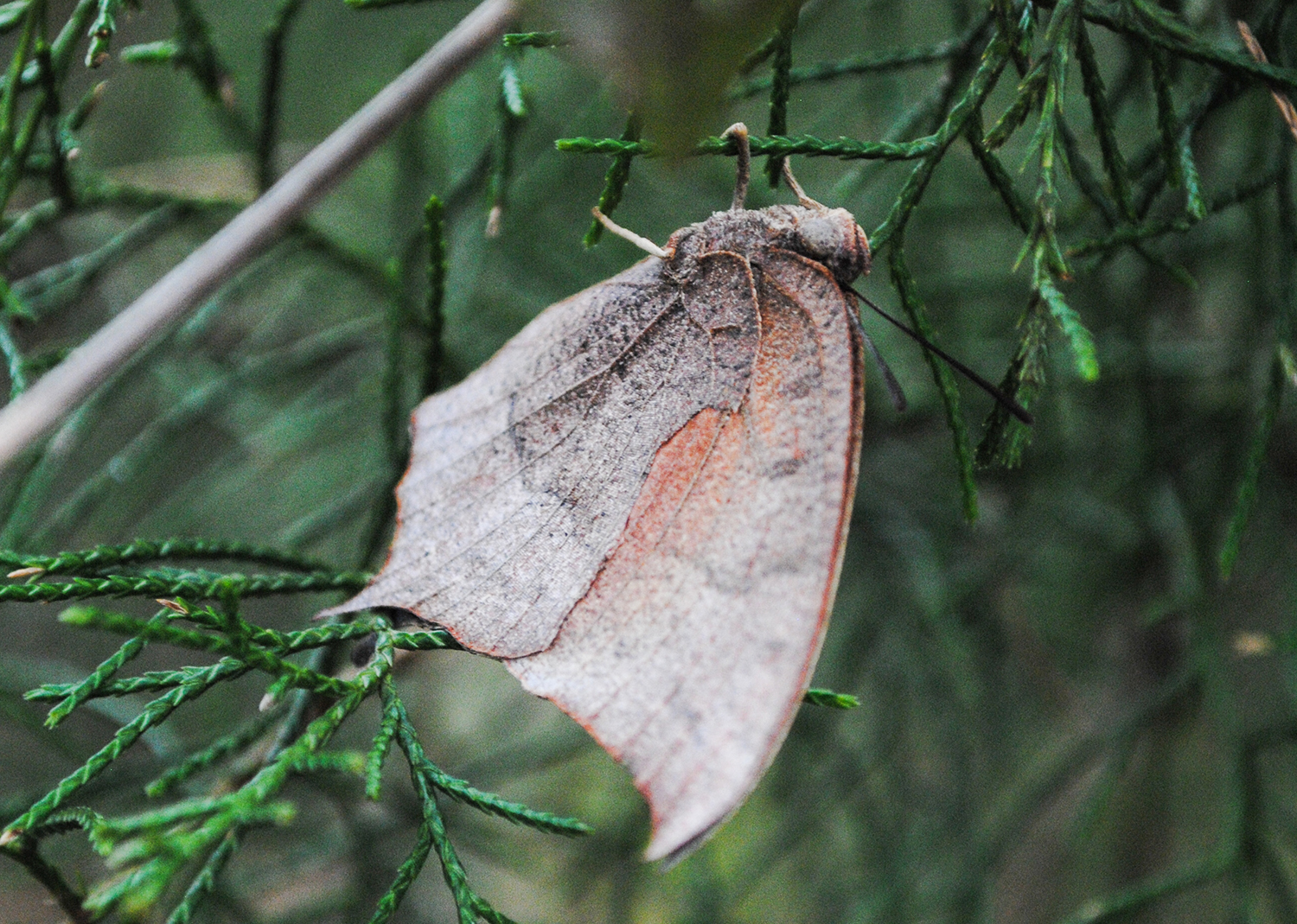 Eventually, it landed in an eastern red cedar. And, I leaned over a barbed wire fence and held the camera high to try to get some good detail of the Goatweed Leafwing.