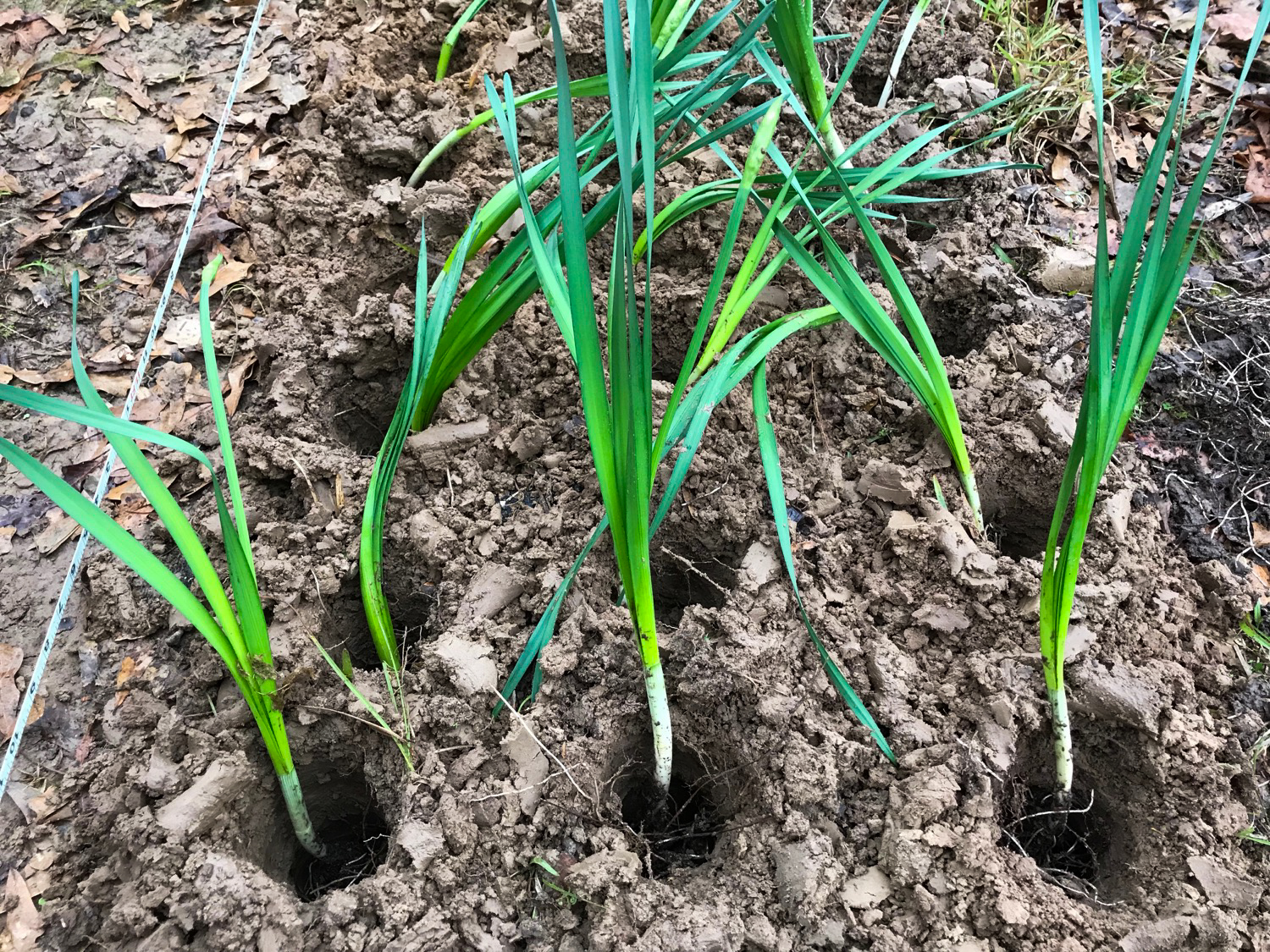 I know many advise dividing  Narcissus  once dormant, but I've had success moving them in the green. In this image you can see the circular holes made by the auger and my attempts to get the bulbs to the same depth. After sticking them in the hole, I use a hoe to replace the soil back.