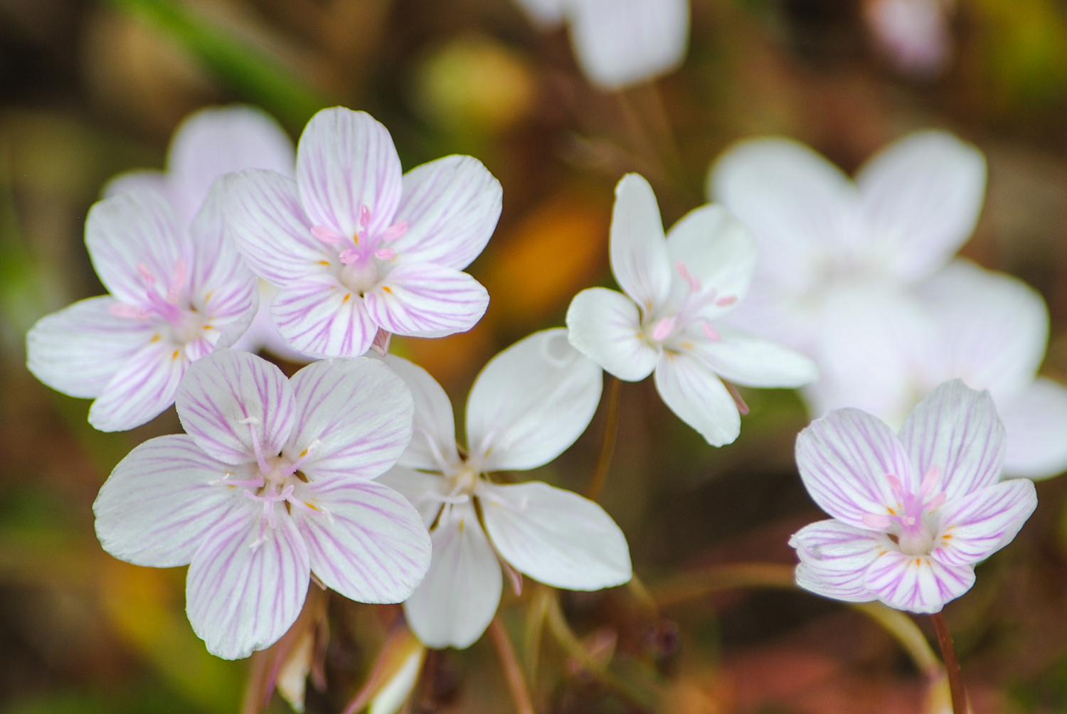 Claytonia virginica  can have different colored blooms in the same population. Here, you see white and pink flowers. Also, notice how pink the stamens are (the five rice-shaped structures near the center of the flower).