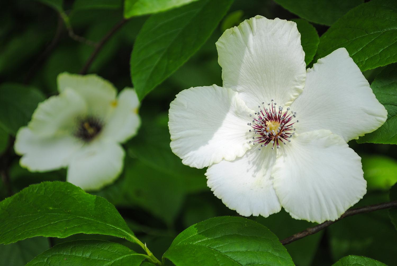 The ruffled petal edges on  Stewartia malacodendron .