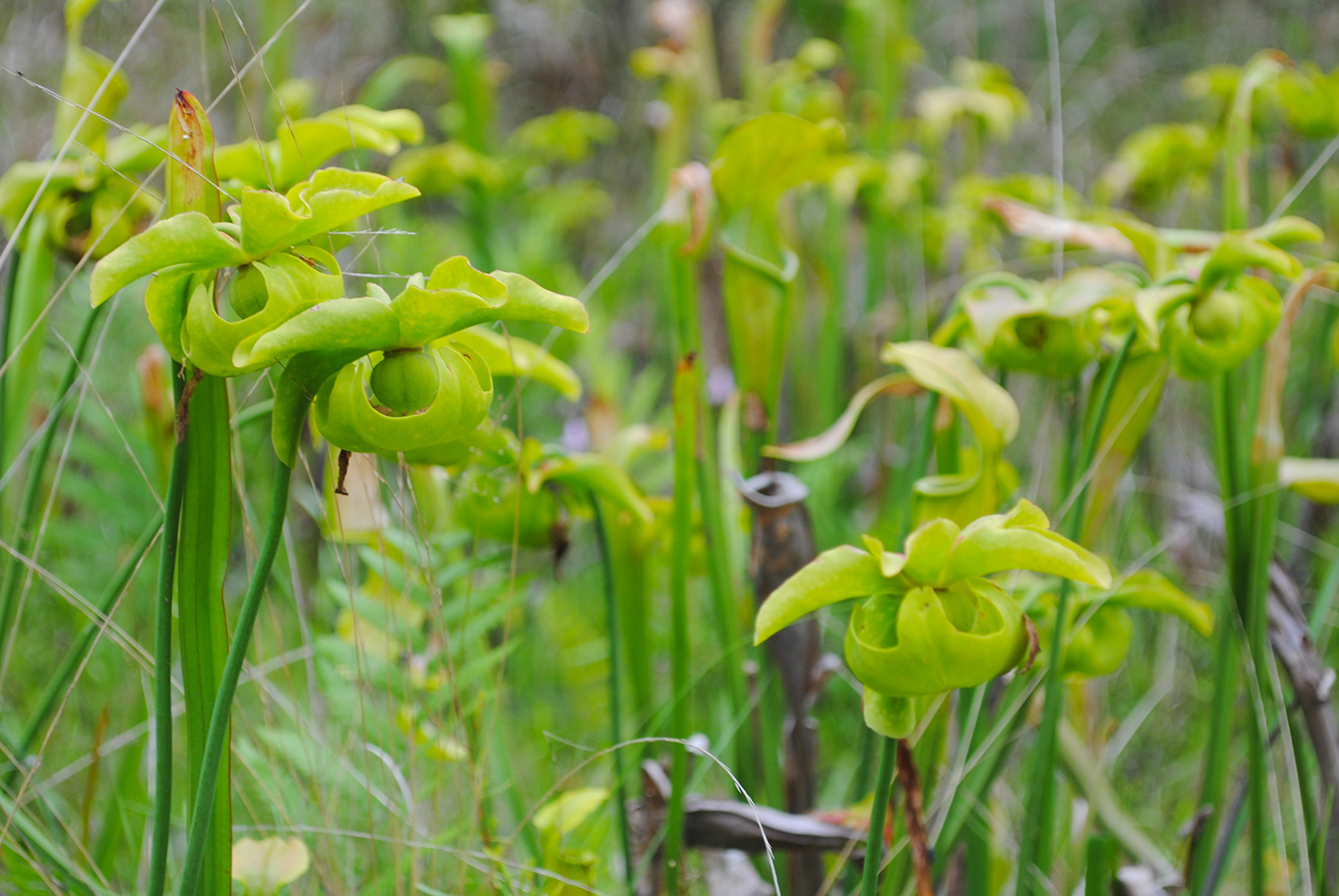 A closeup of the flowers of  Sarracenia alata