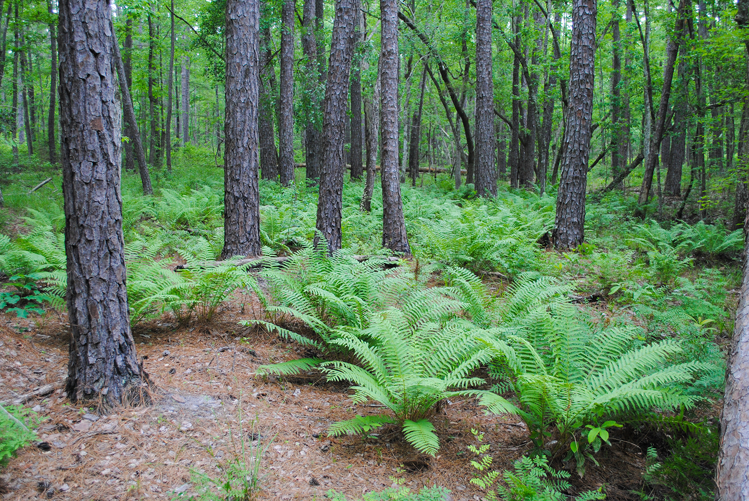 The habitat of a baygall. The understory looks lush from the abundance of  Osmundastrum cinnamomeum  or cinnamon fern.