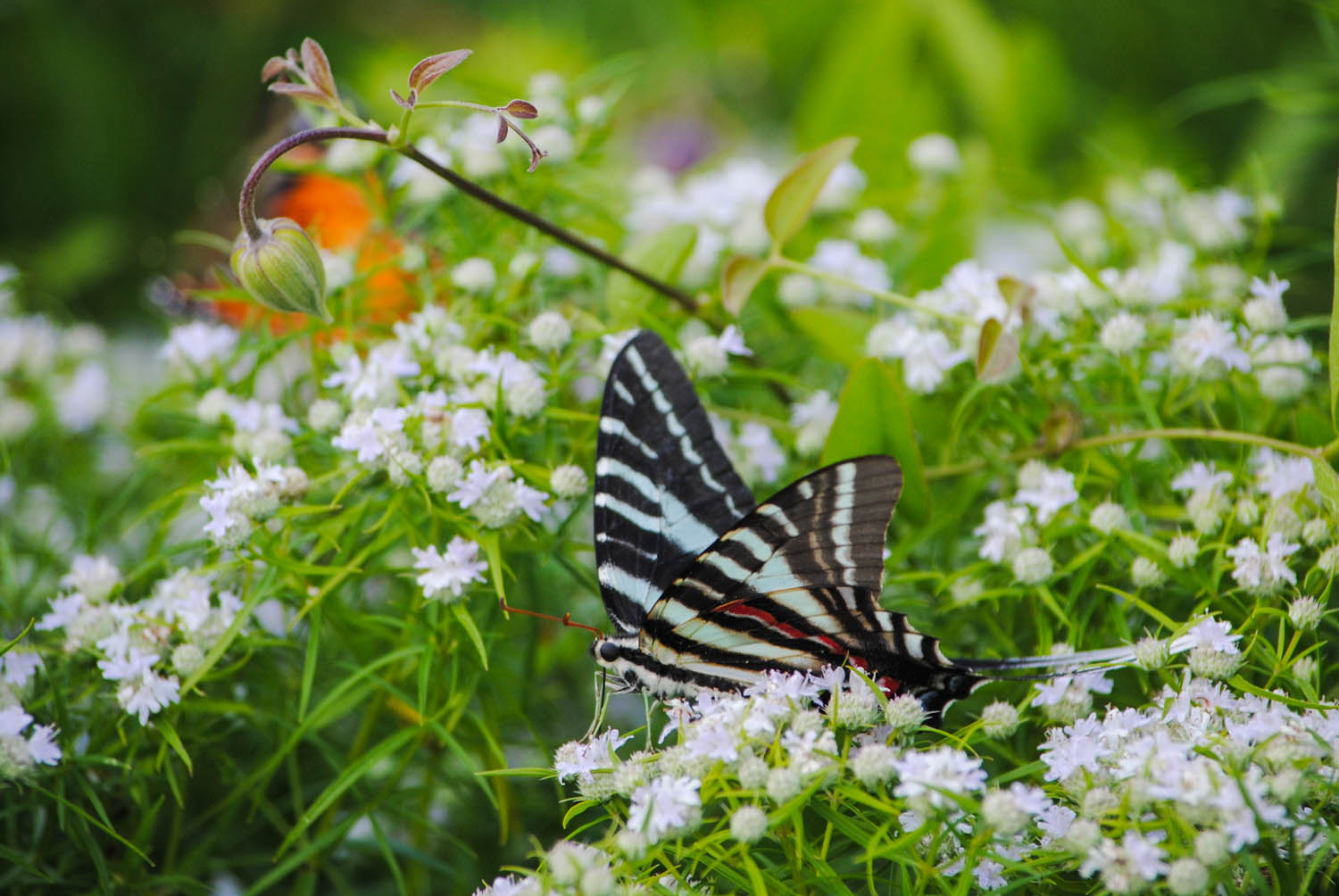 A    zebra swallowtail    waddling through the flowers on  Pycnanthemum tenuifolium . Yes, I know you can't see motion in this still picture, but trust me. It waddled.