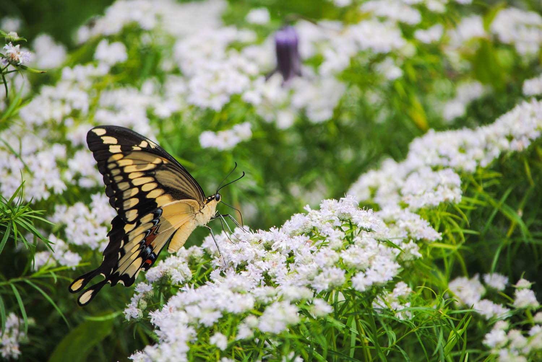 A giant swallowtail probed  Pycnanthemum tenuifolium  flowers.