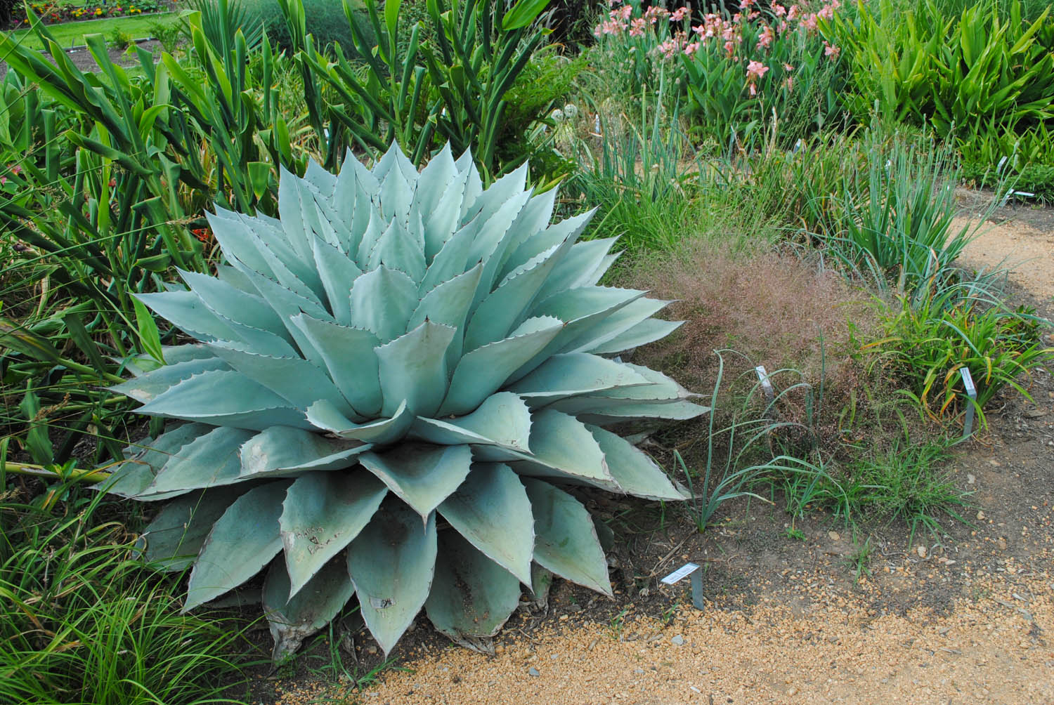 Agave ovatifolia 'Frosty Blue' has such bold texture for the landscape.