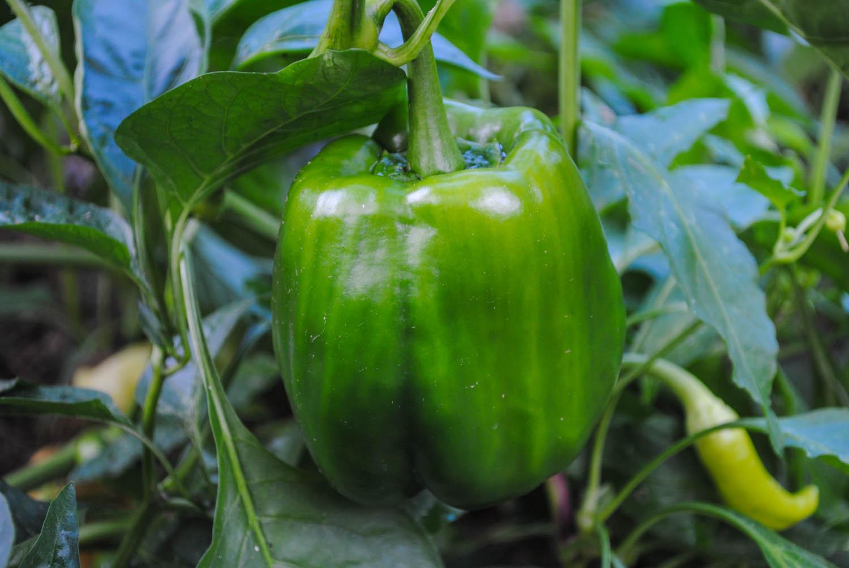'Antebellum' bell pepper