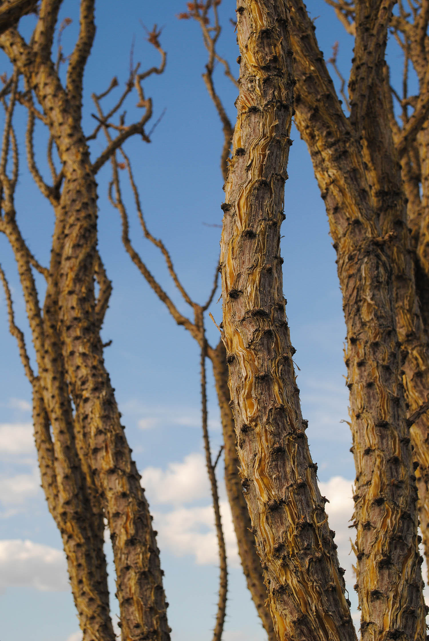 A close up of the cracked ocotillo branches