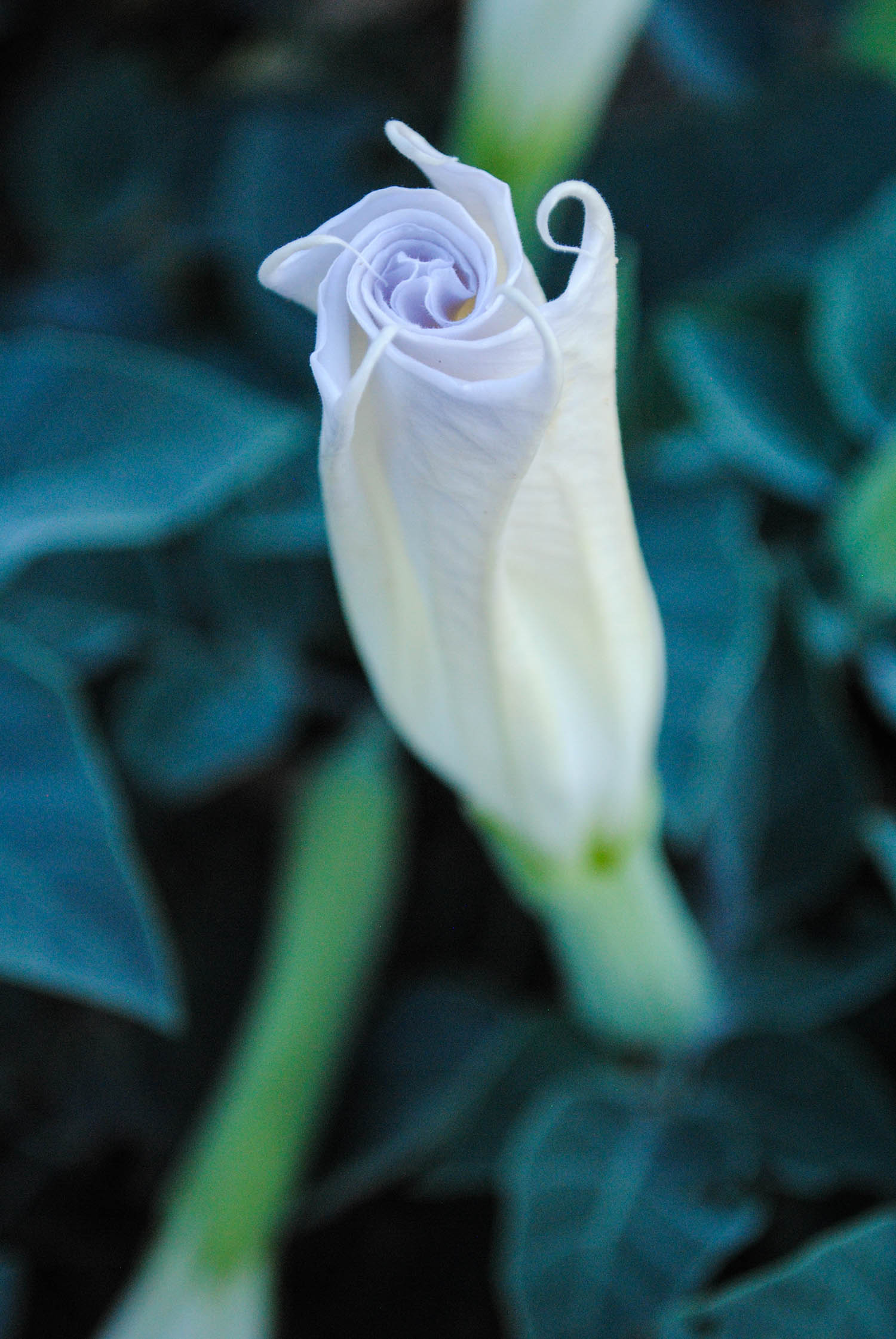 Not everything was brown. We found a few Datura along side the road at twilight that hadn't quite opened yet.