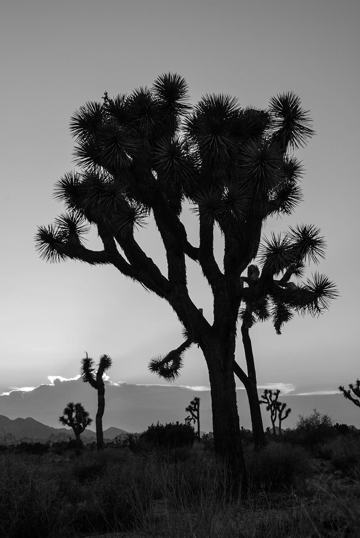 With the arrival of night, we left the park with the silhouettes of the Joshua trees standing stolid against the sunset. They looked like spiked lightning bolts piercing the sky. I have never experienced such a landscape, and I look forward to when I return.
